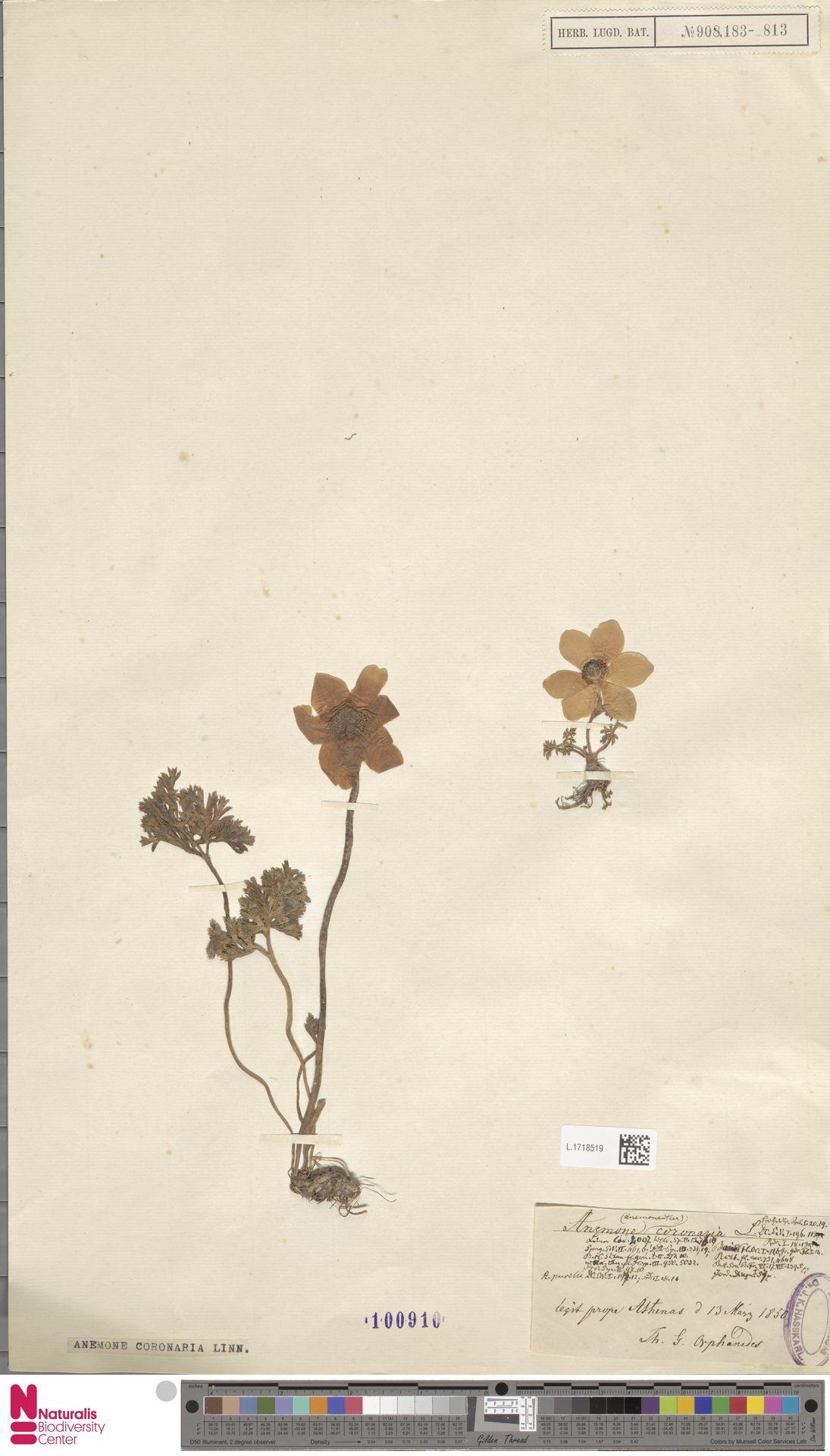 L.1718519 | Anemone coronaria L.