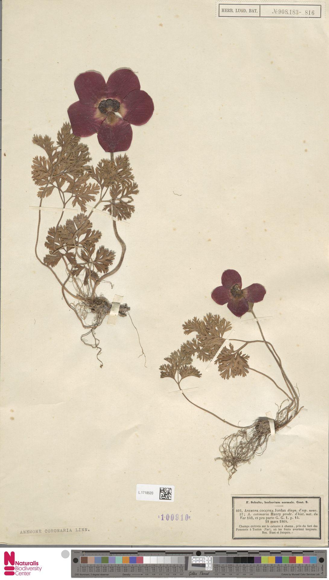 L.1718520 | Anemone coronaria L.