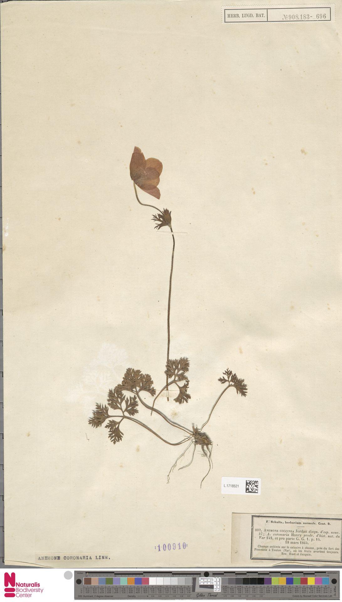 L.1718521 | Anemone coronaria L.
