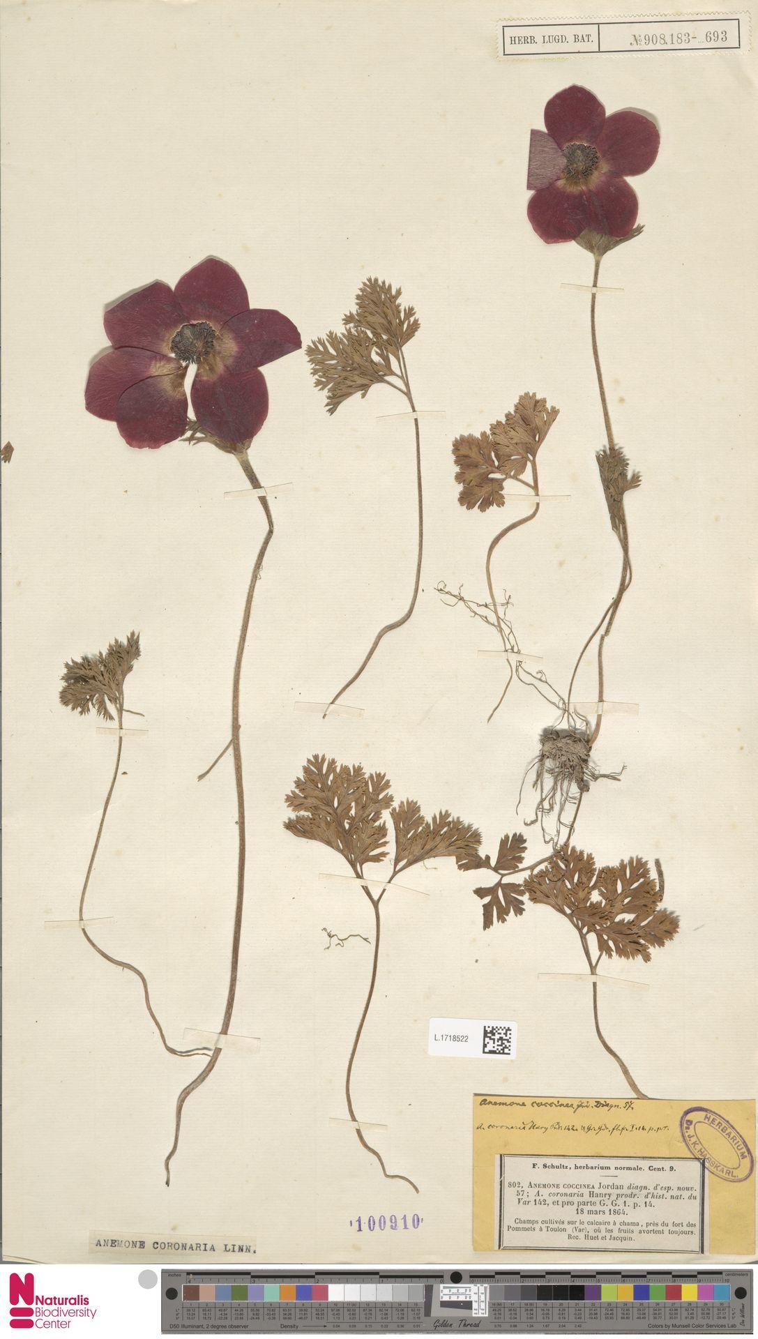 L.1718522 | Anemone coronaria L.