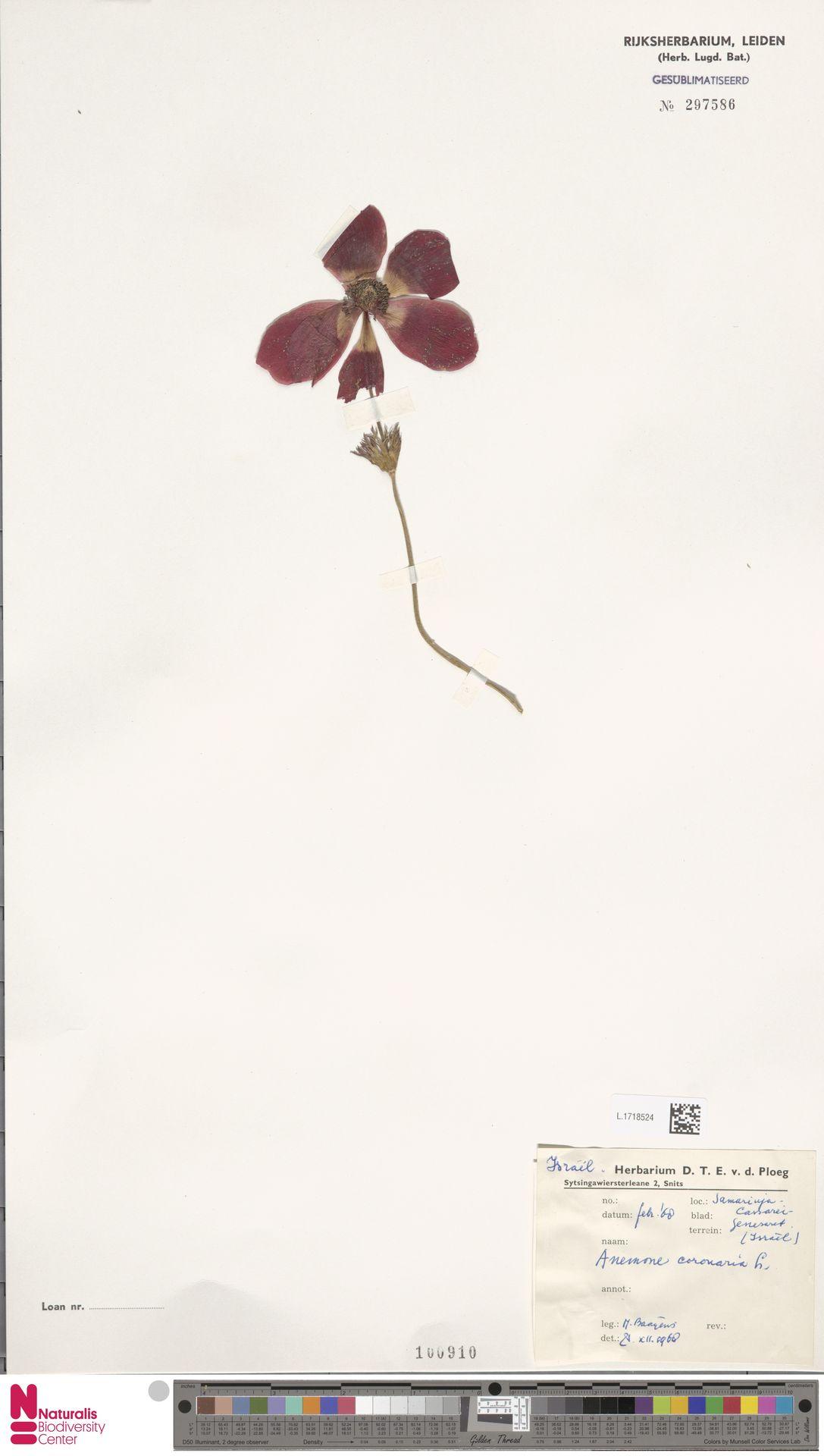 L.1718524 | Anemone coronaria L.