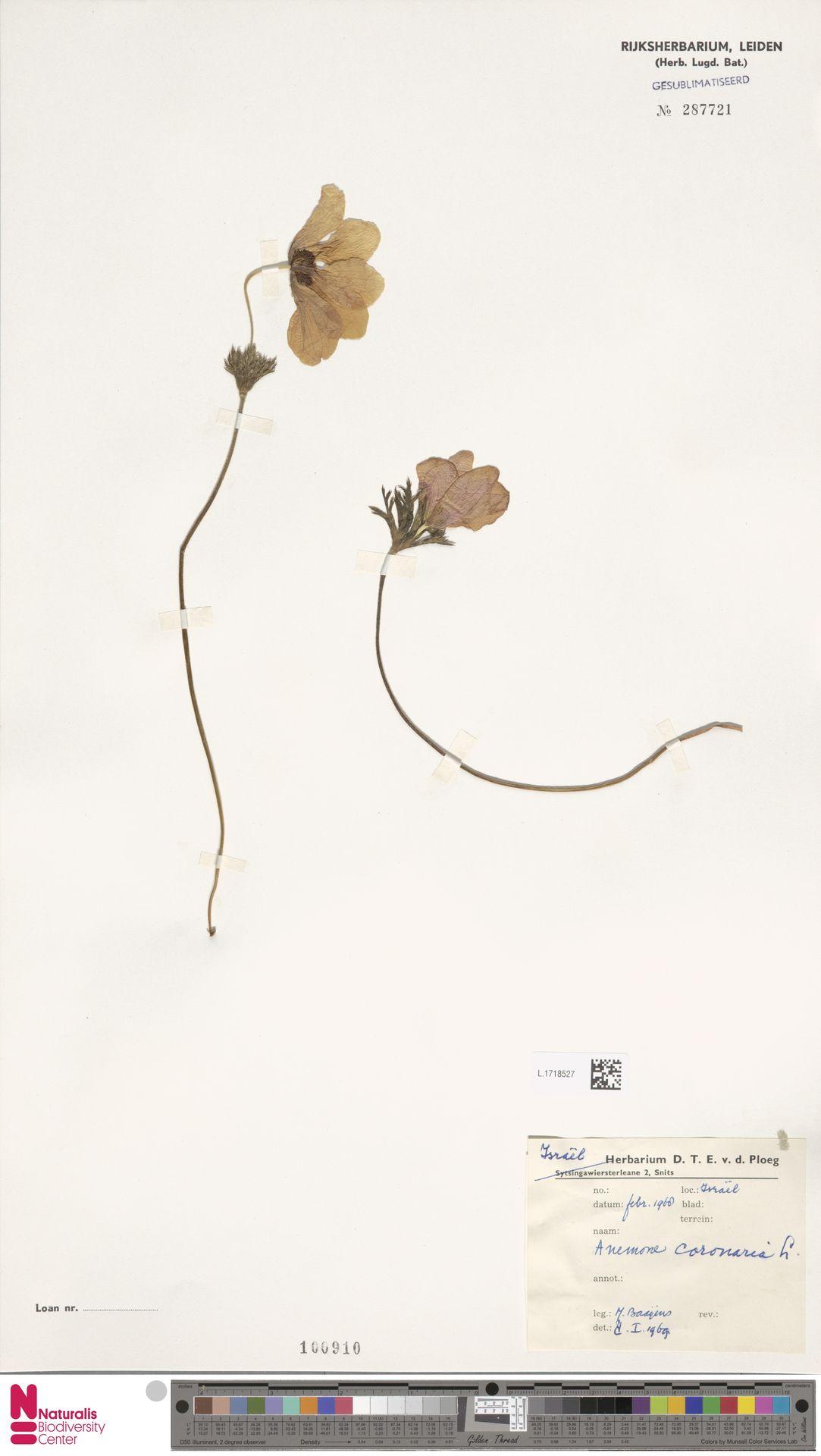 L.1718527 | Anemone coronaria L.