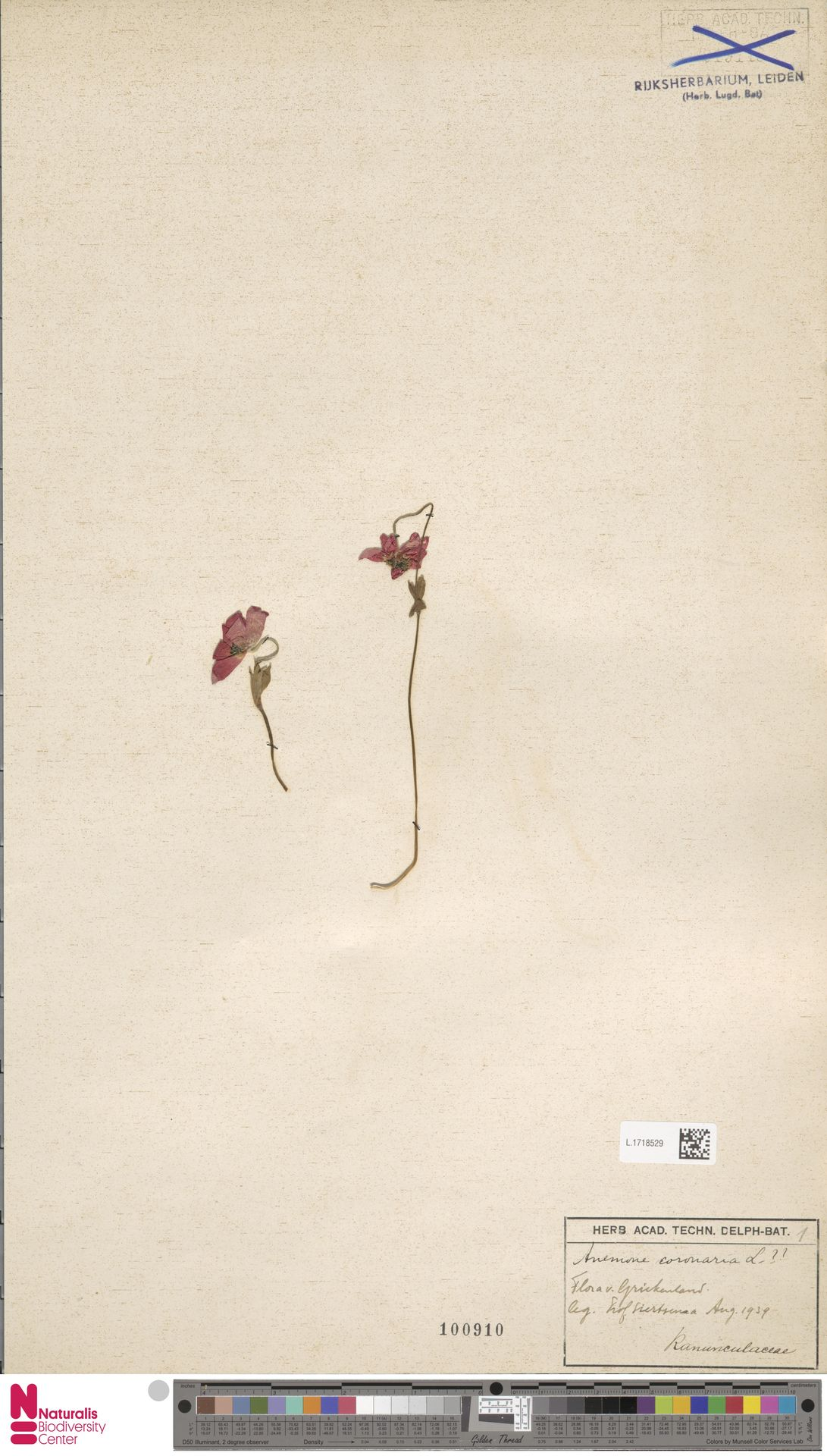 L.1718529 | Anemone coronaria L.