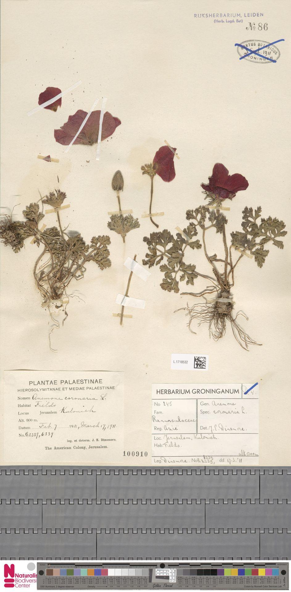 L.1718532 | Anemone coronaria L.