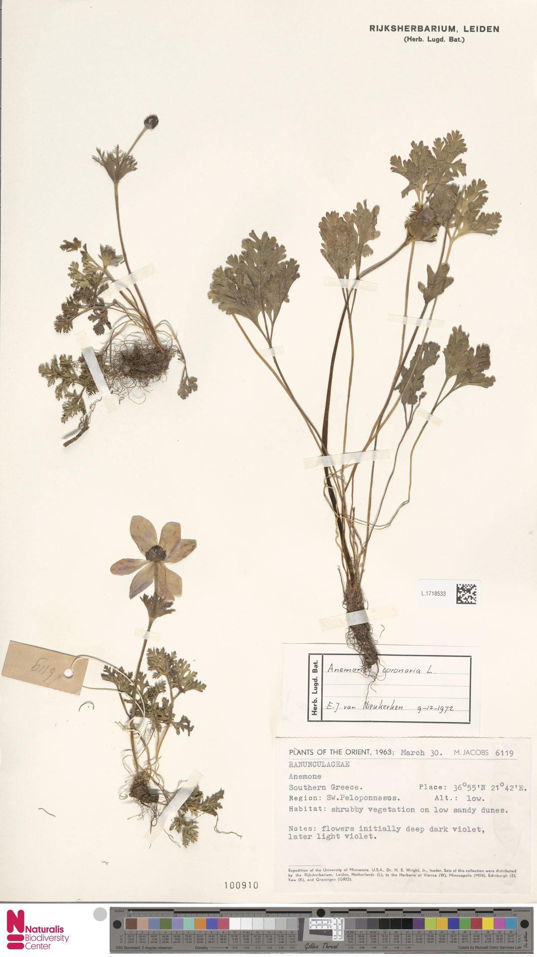 L.1718533 | Anemone coronaria L.