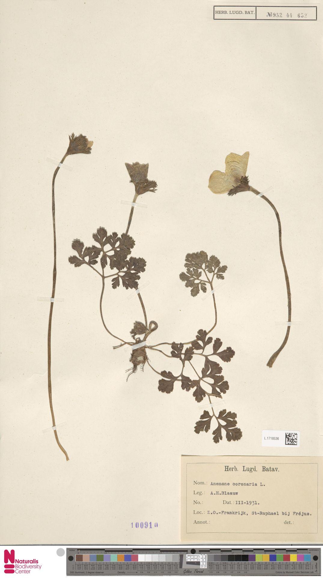 L.1718536 | Anemone coronaria L.