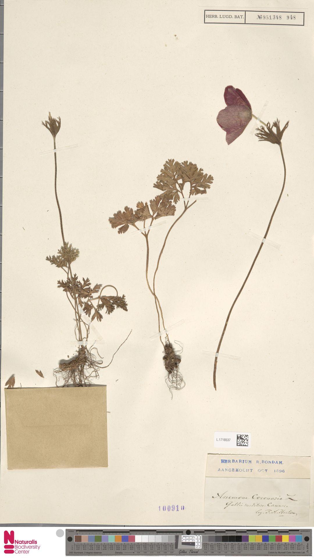 L.1718537 | Anemone coronaria L.