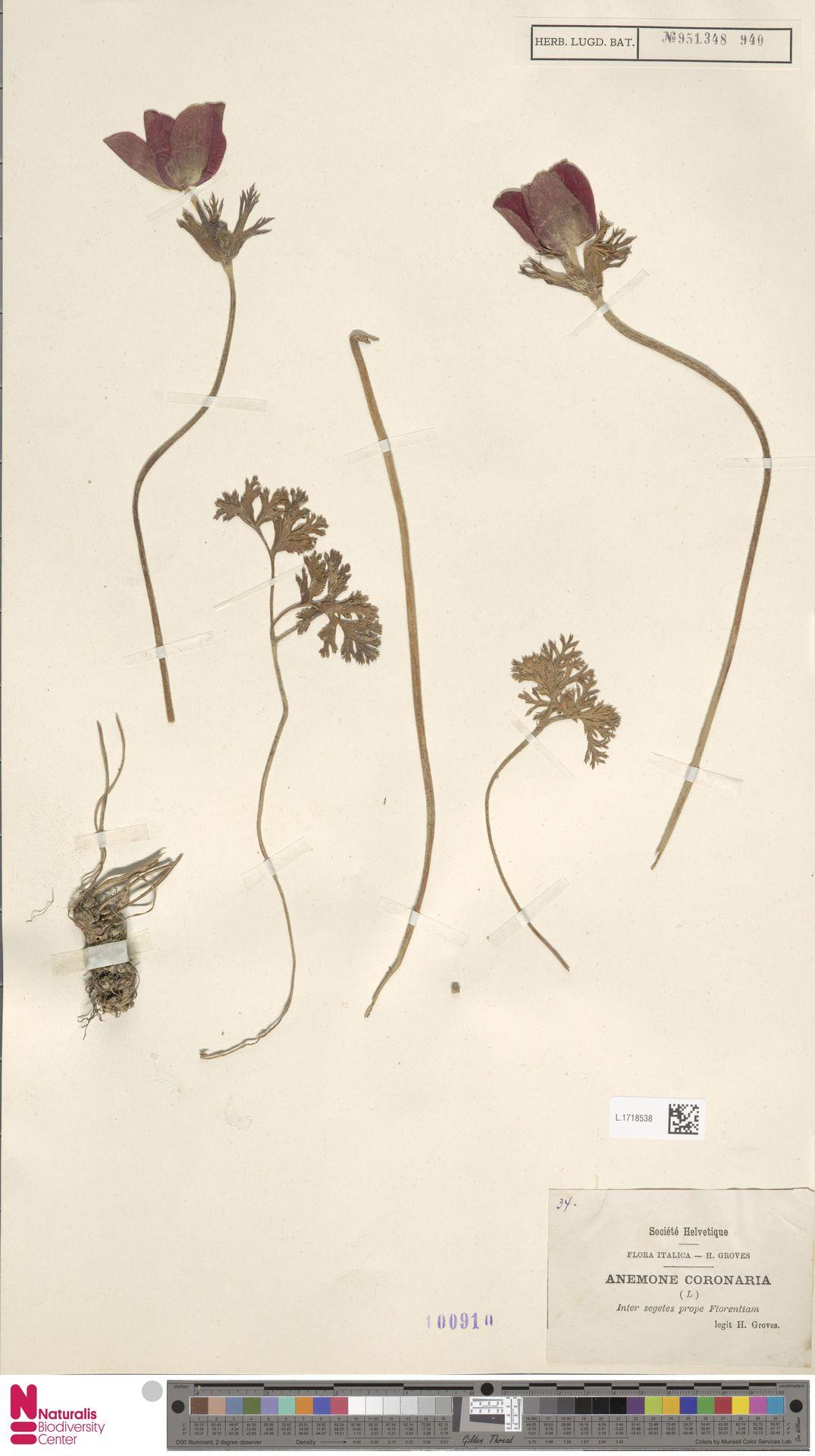 L.1718538 | Anemone coronaria L.