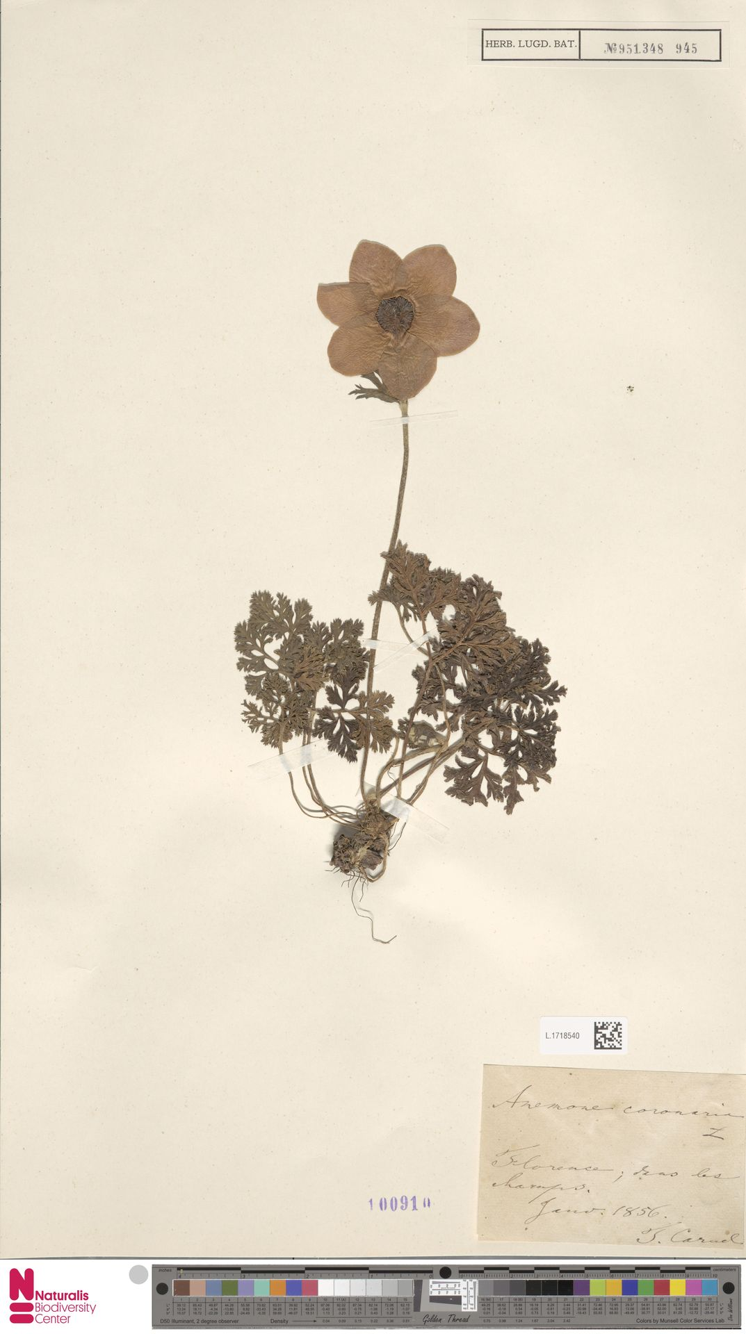 L.1718540 | Anemone coronaria L.