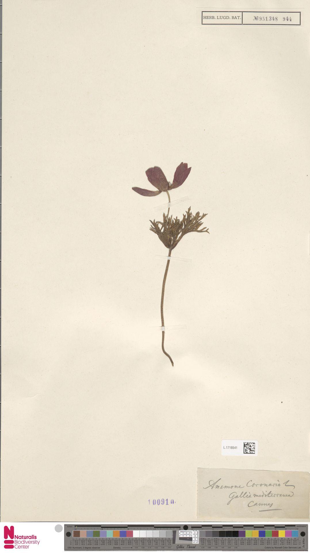 L.1718541 | Anemone coronaria L.