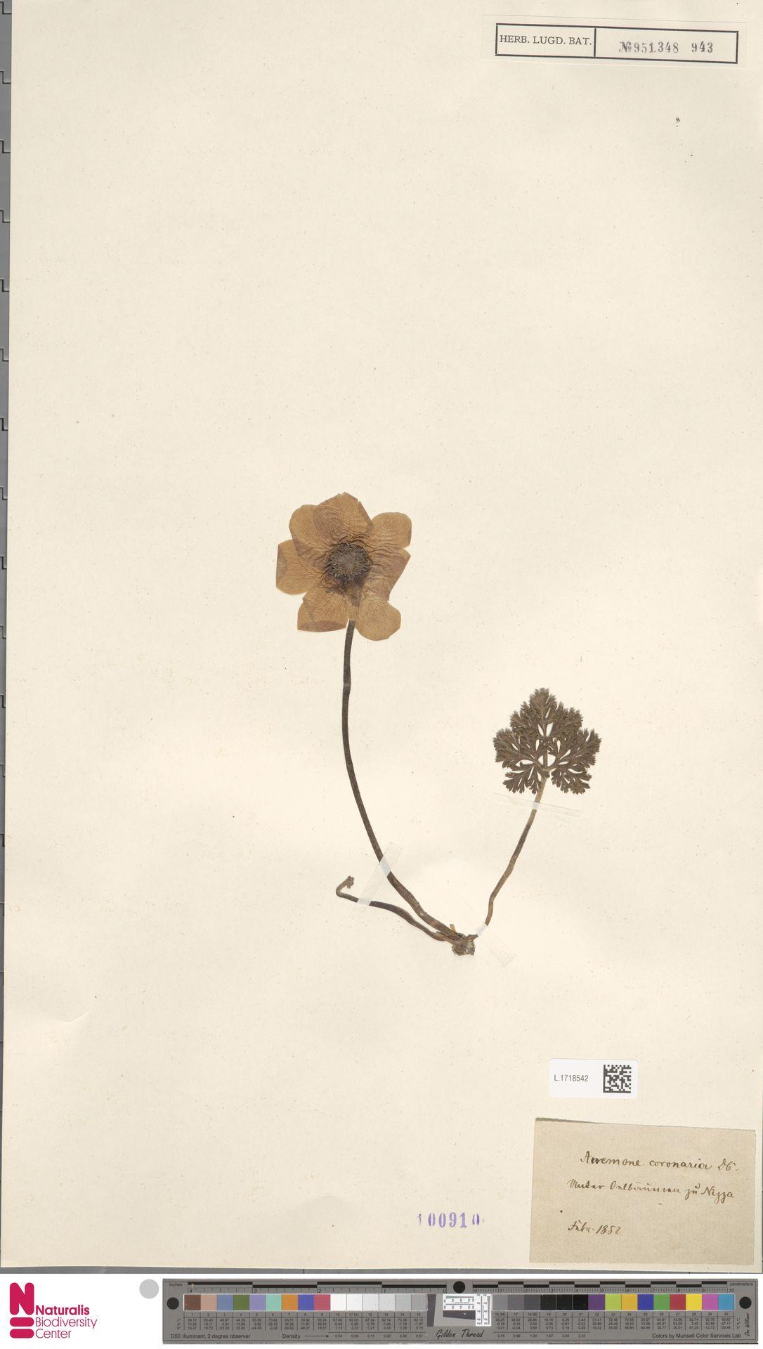 L.1718542 | Anemone coronaria L.