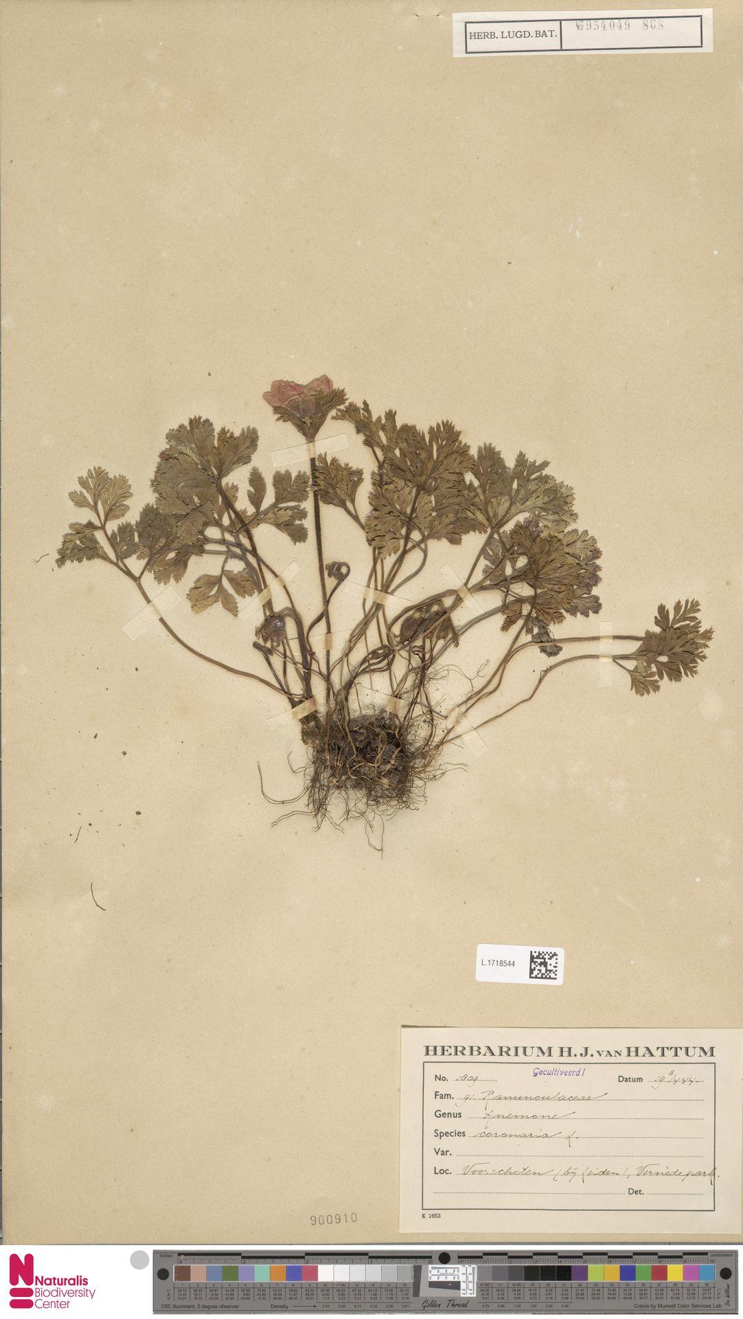 L.1718544 | Anemone coronaria L.