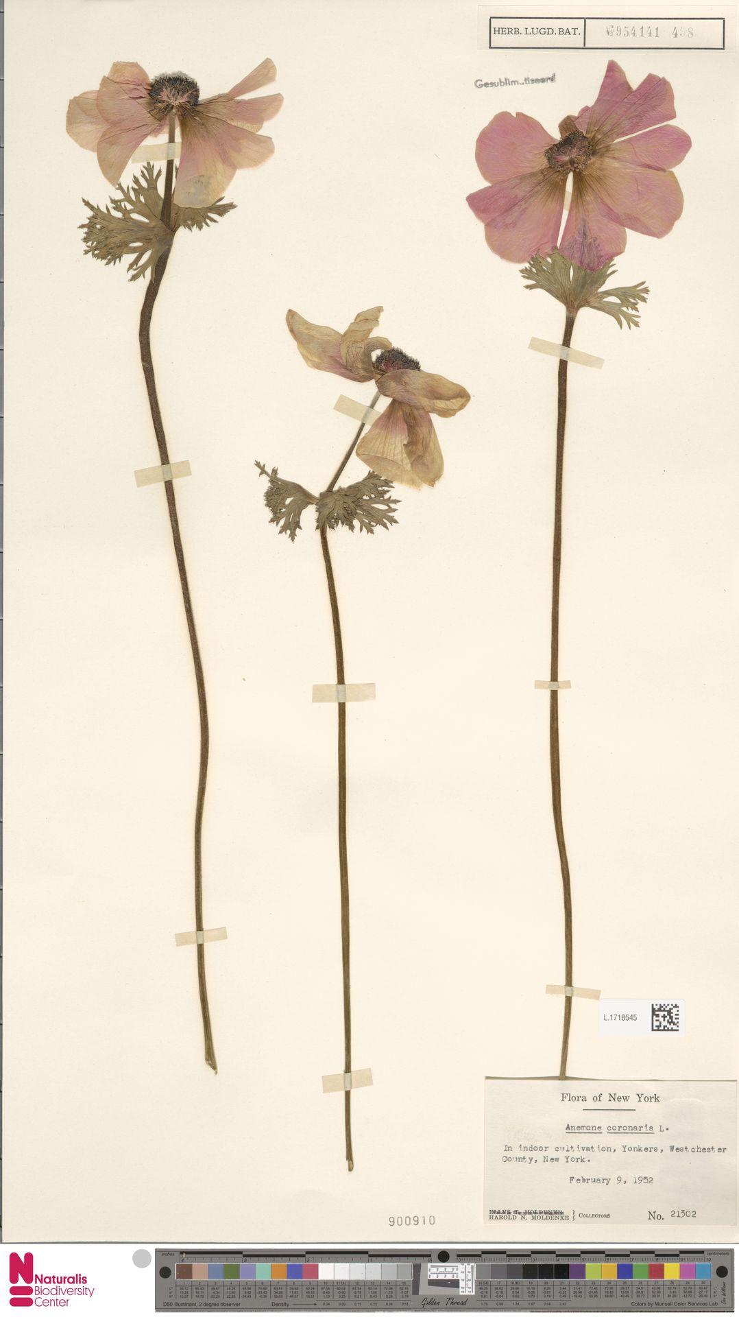 L.1718545 | Anemone coronaria L.