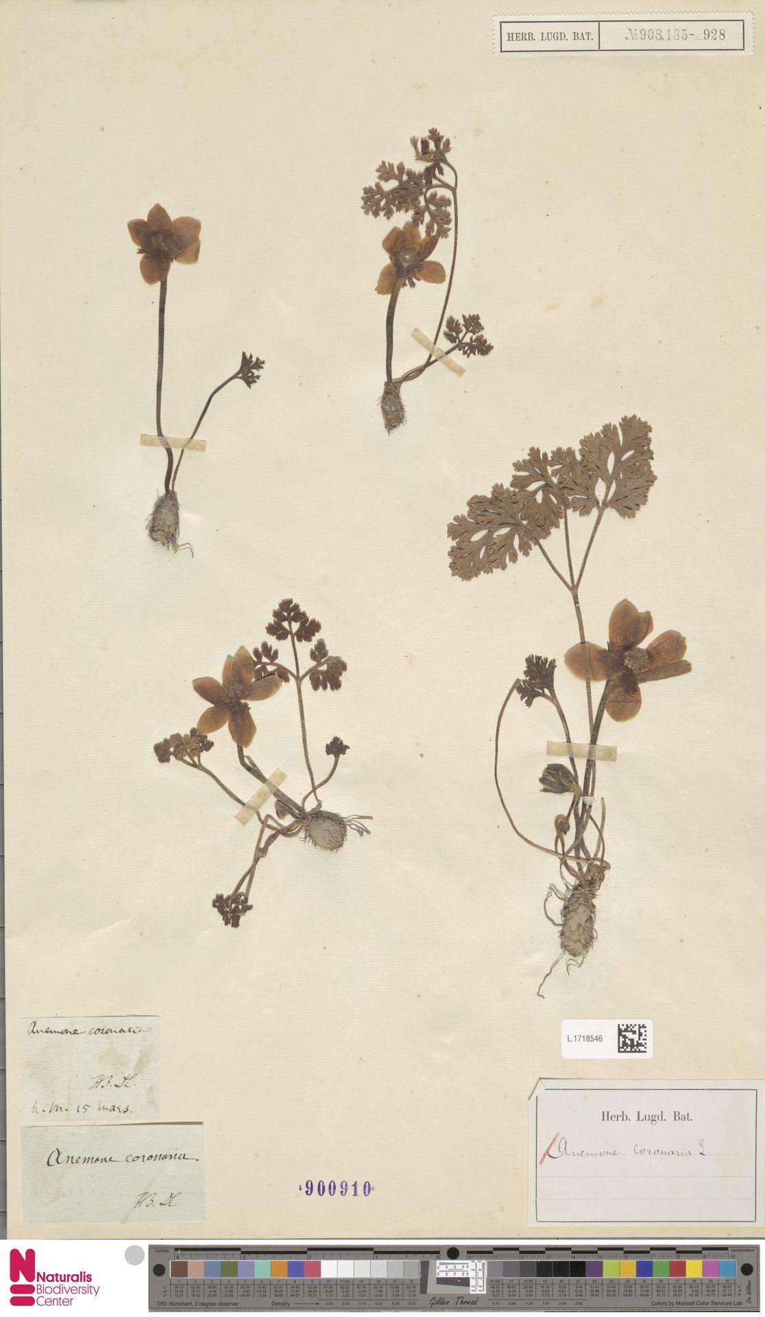 L.1718546 | Anemone coronaria L.