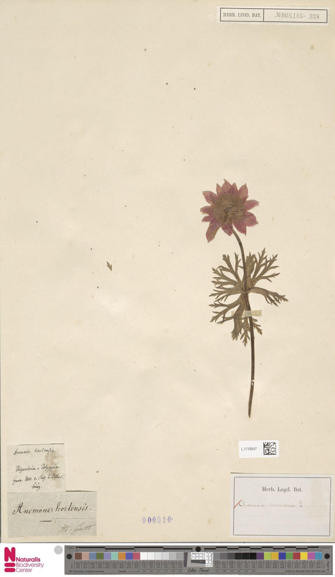 L.1718547 | Anemone coronaria L.