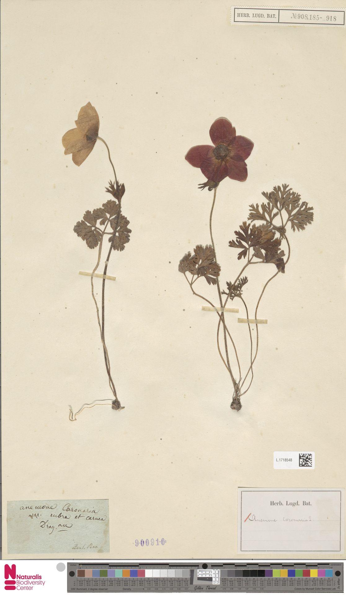L.1718548 | Anemone coronaria L.