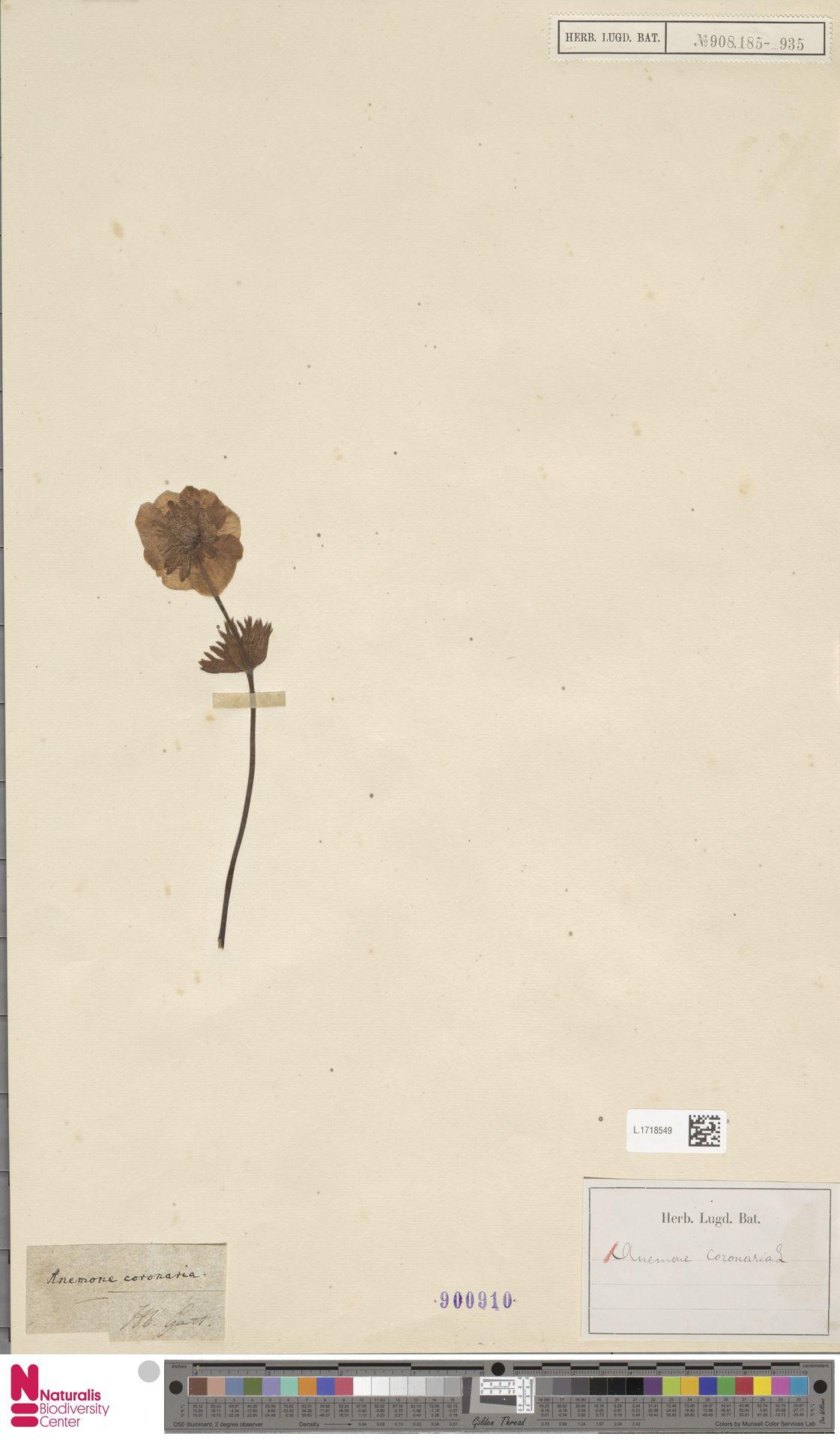 L.1718549 | Anemone coronaria L.