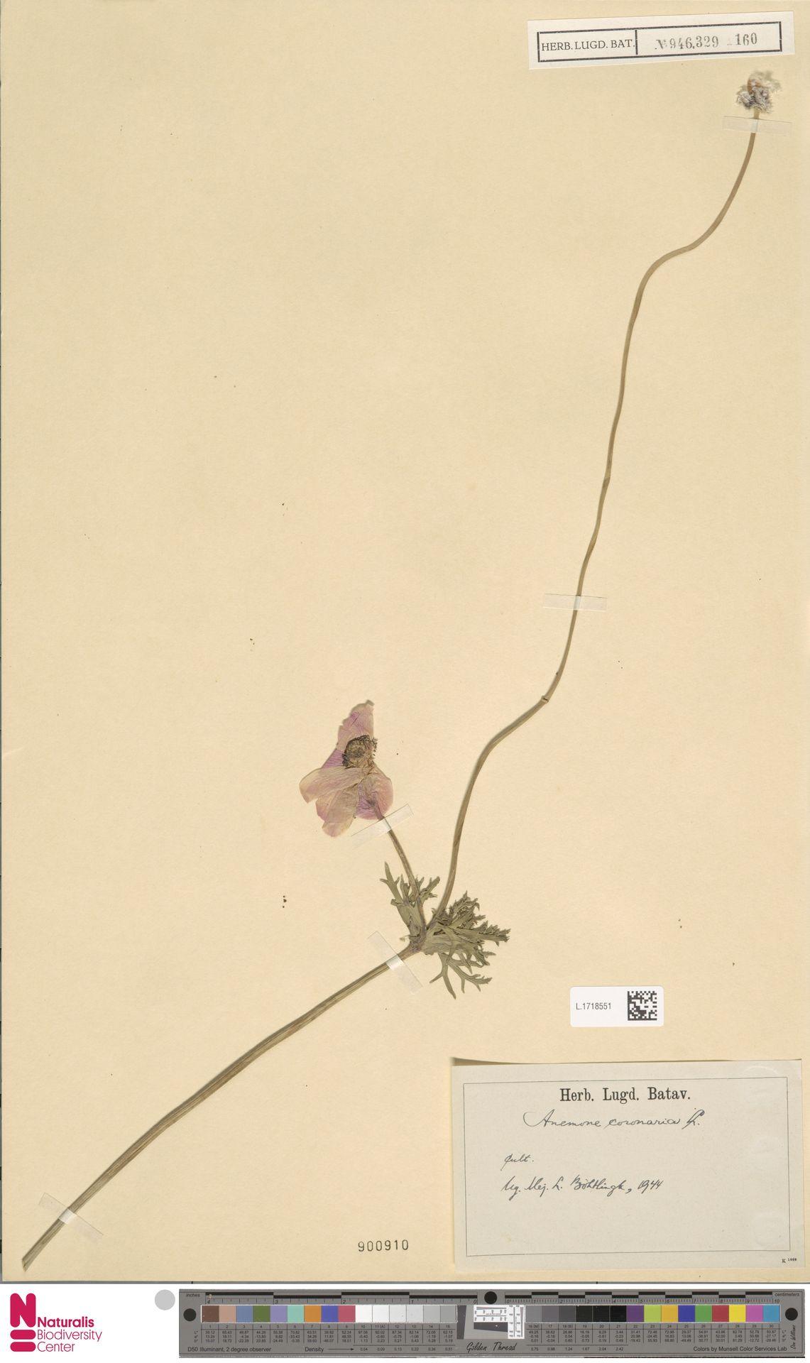 L.1718551 | Anemone coronaria L.