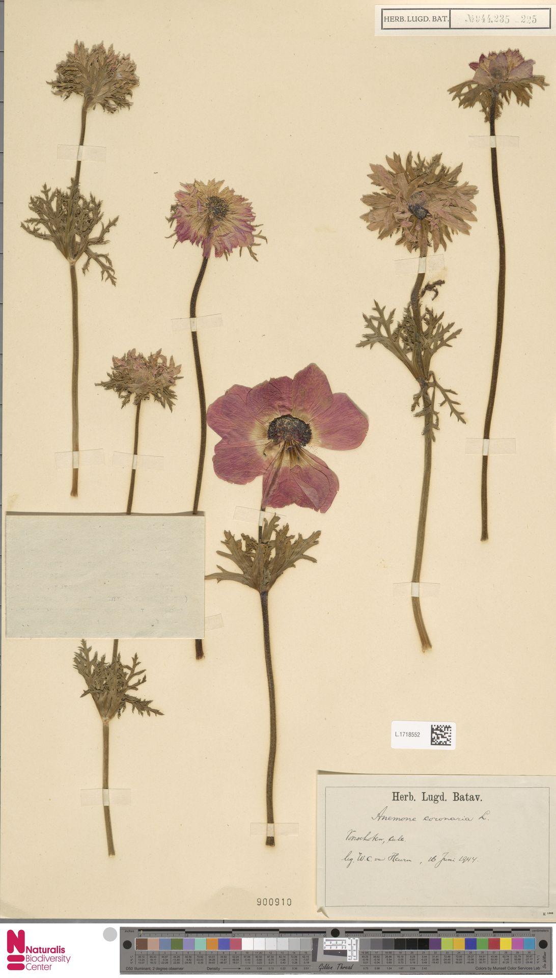 L.1718552 | Anemone coronaria L.