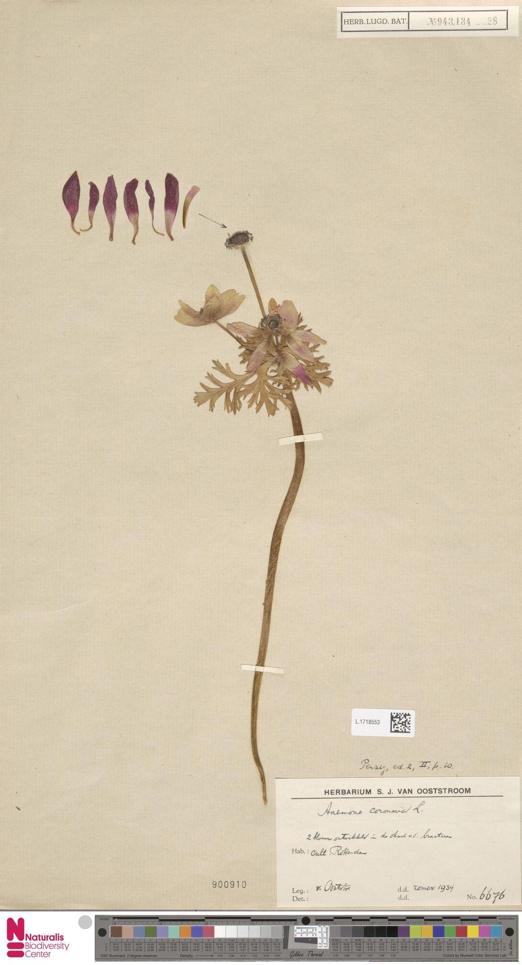 L.1718553 | Anemone coronaria L.