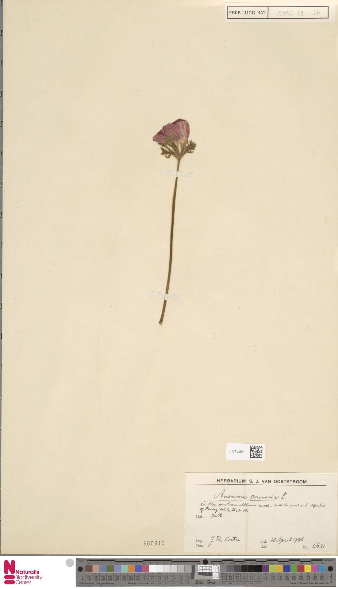 L.1718554 | Anemone coronaria L.