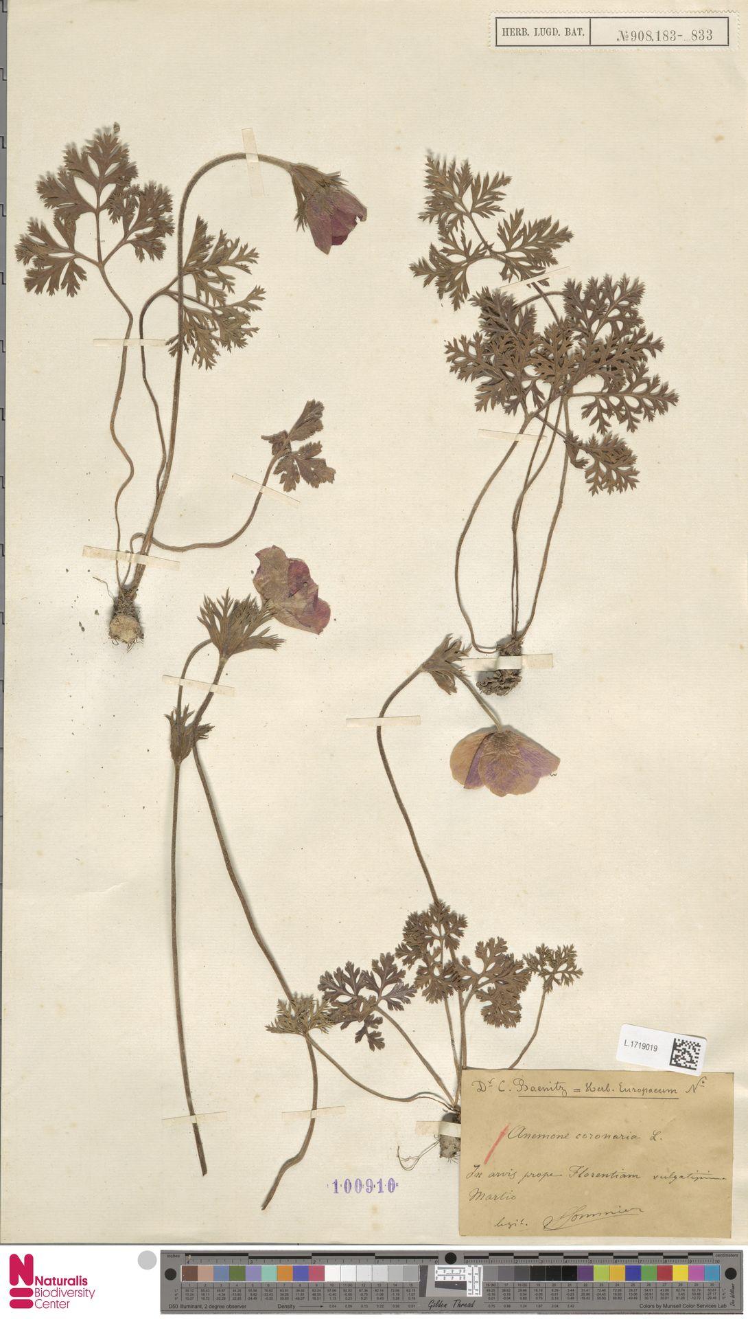 L.1719019 | Anemone coronaria L.