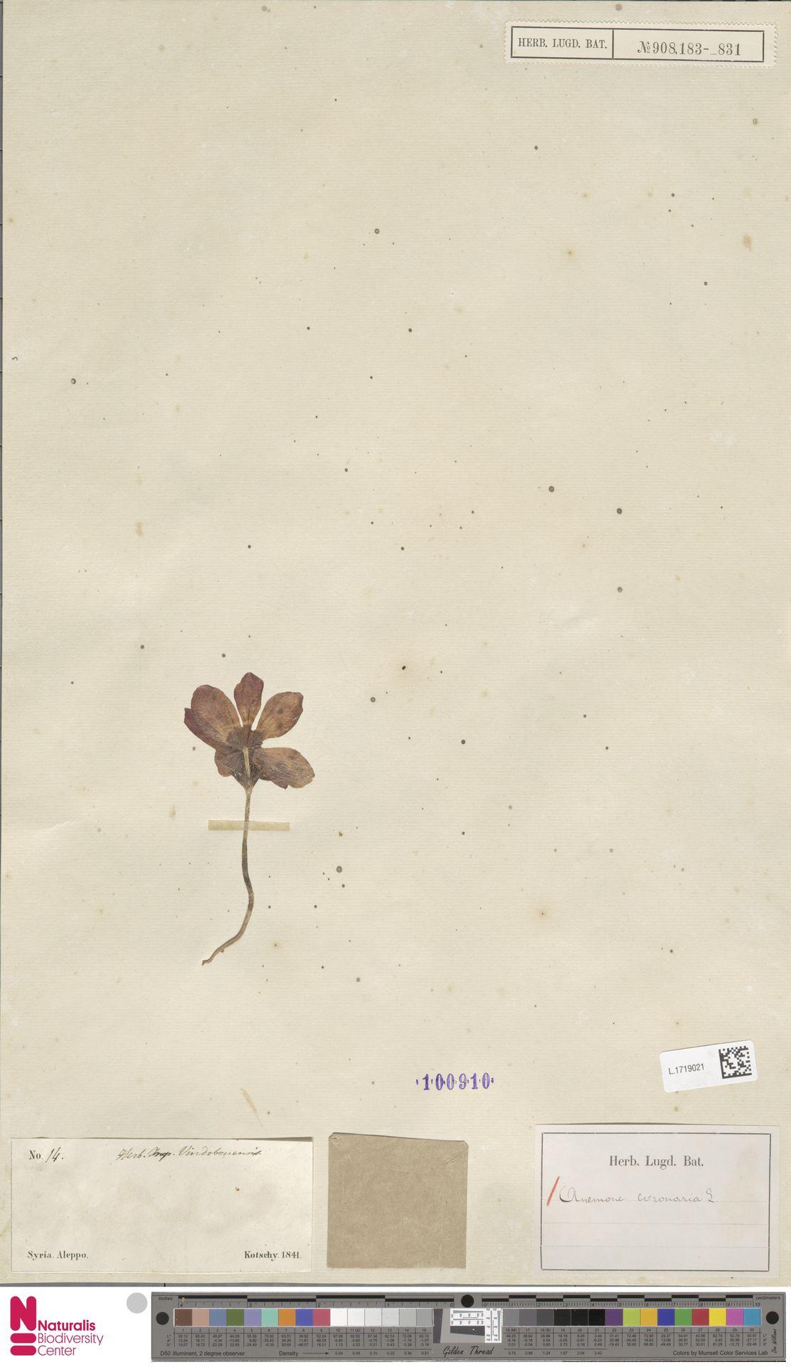 L.1719021 | Anemone coronaria L.