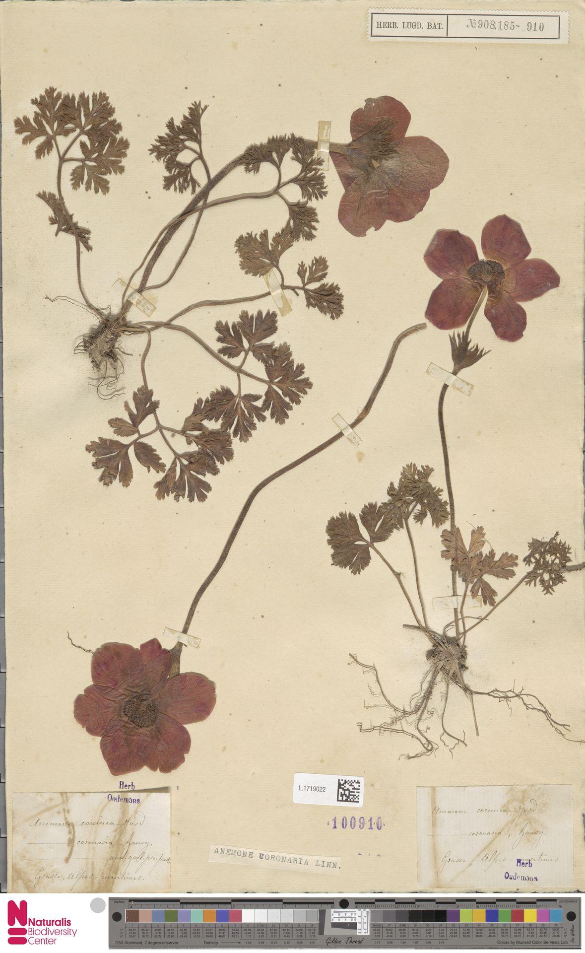 L.1719022 | Anemone coronaria L.