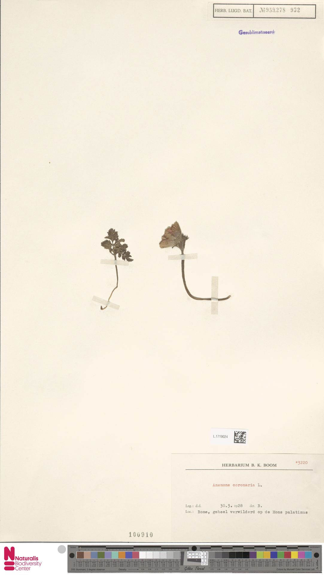 L.1719024 | Anemone coronaria L.
