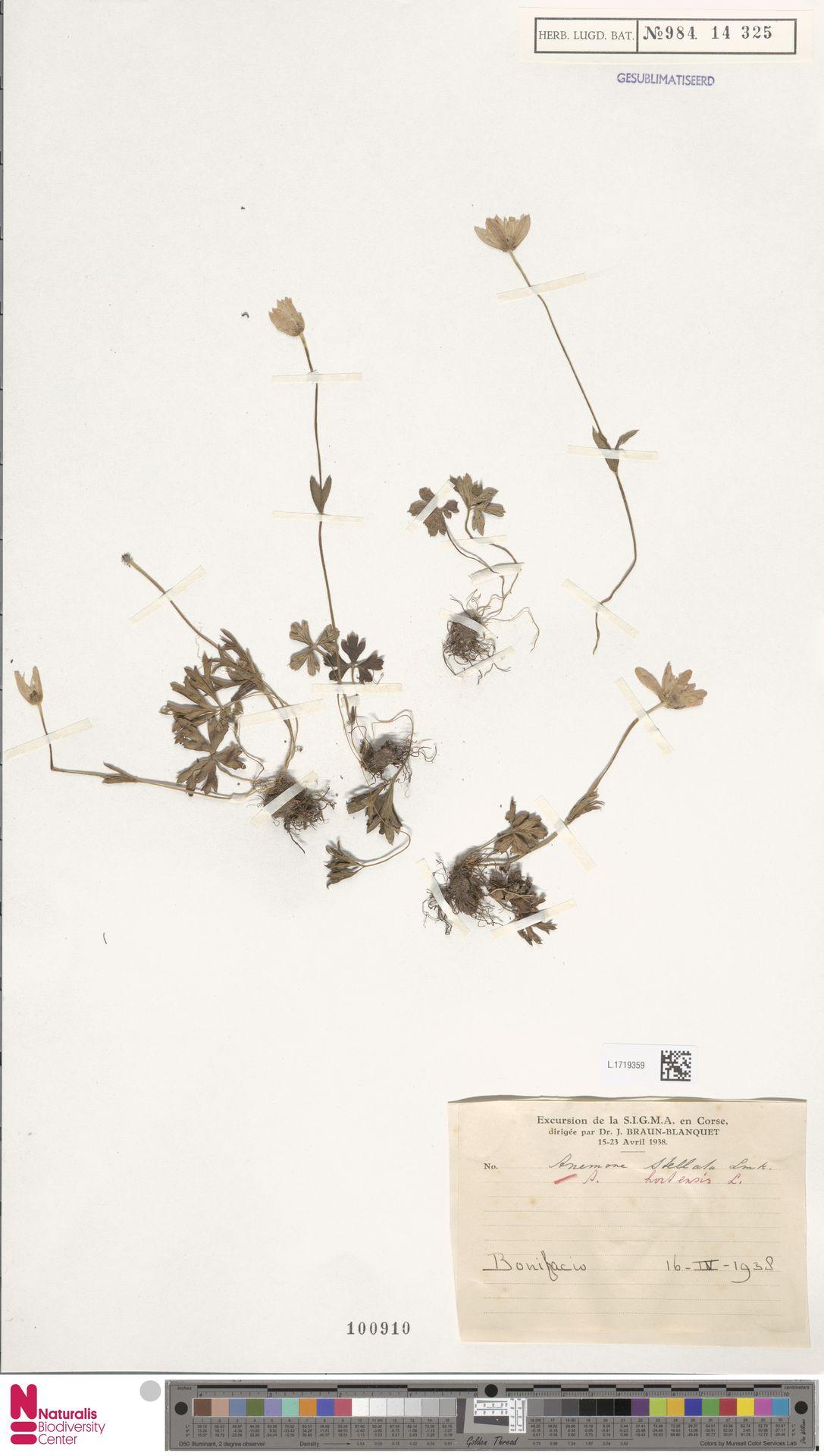 L.1719359 | Anemone hortensis L.