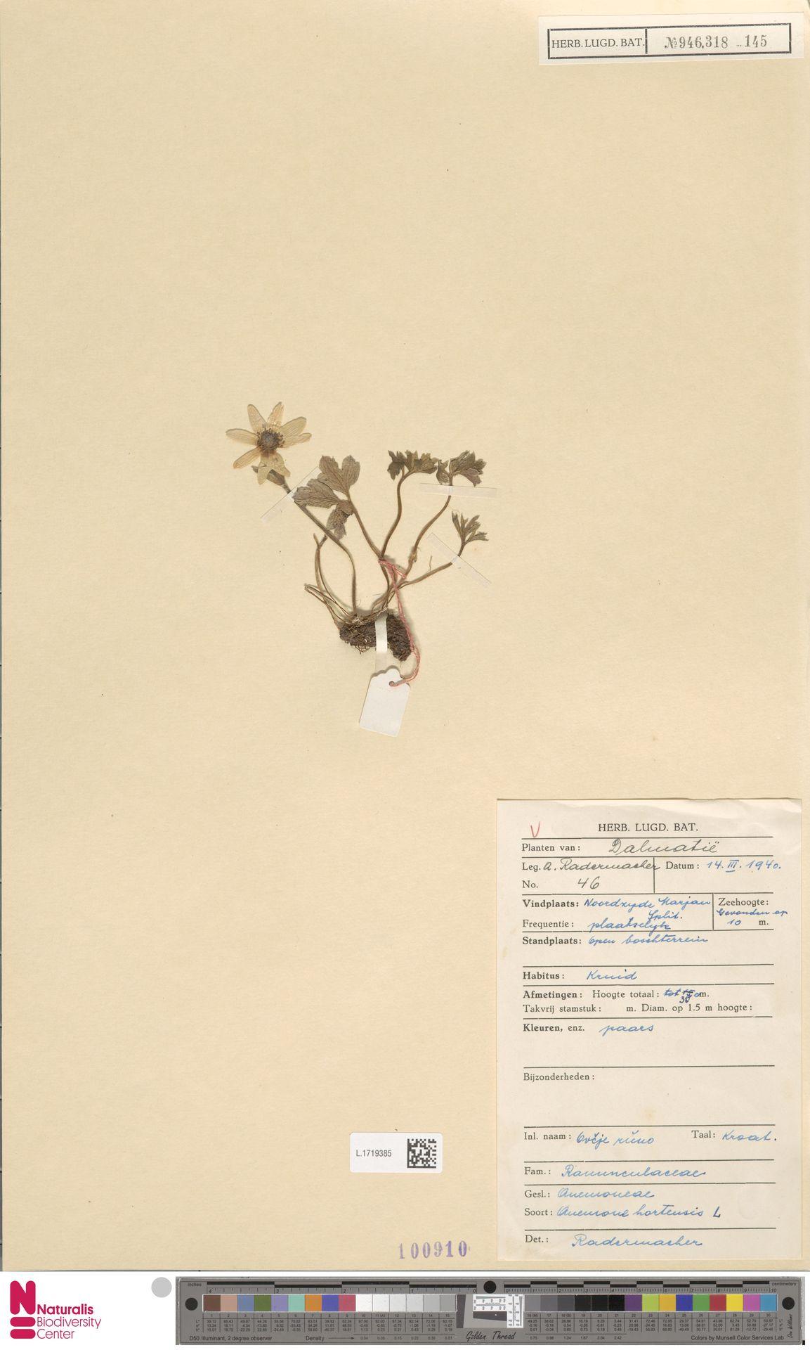 L.1719385   Anemone hortensis L.