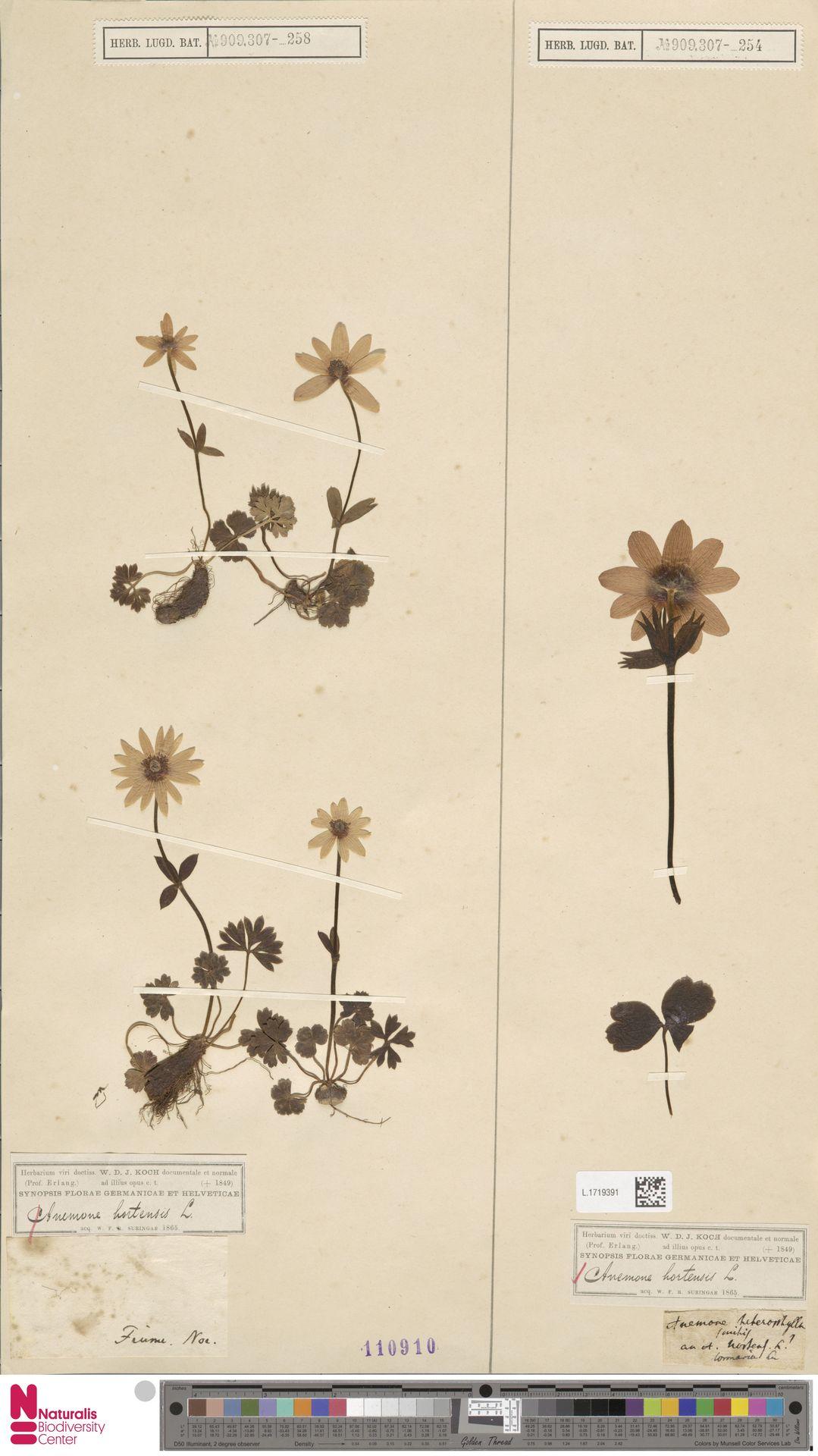 L.1719391 | Anemone hortensis L.