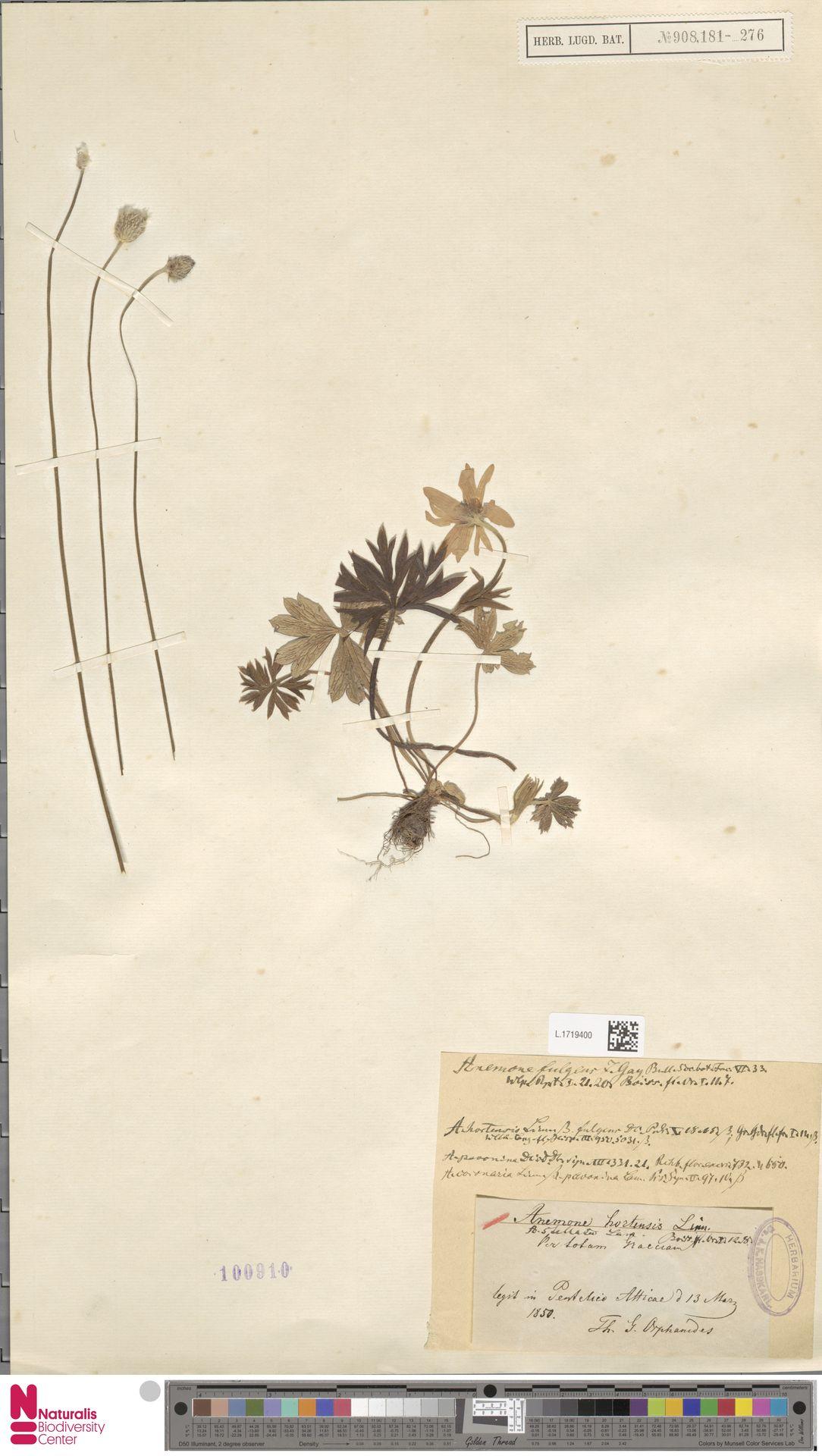 L.1719400   Anemone hortensis L.