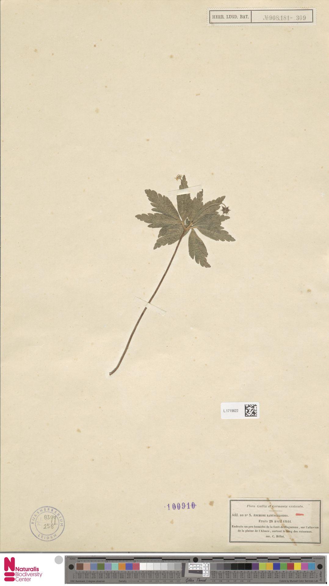 L.1719622 | Anemone ranunculoides L.