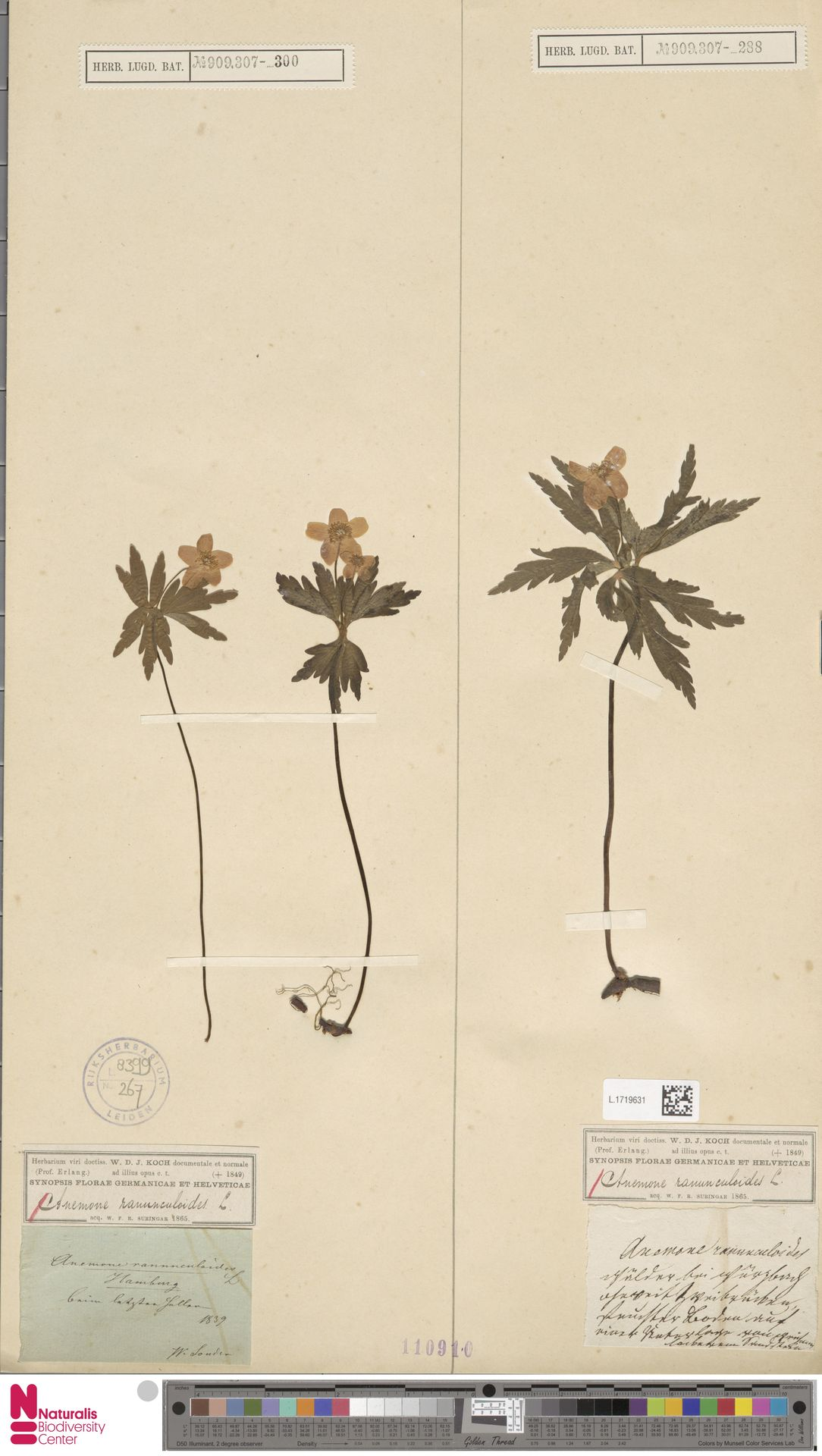 L.1719631   Anemone ranunculoides L.