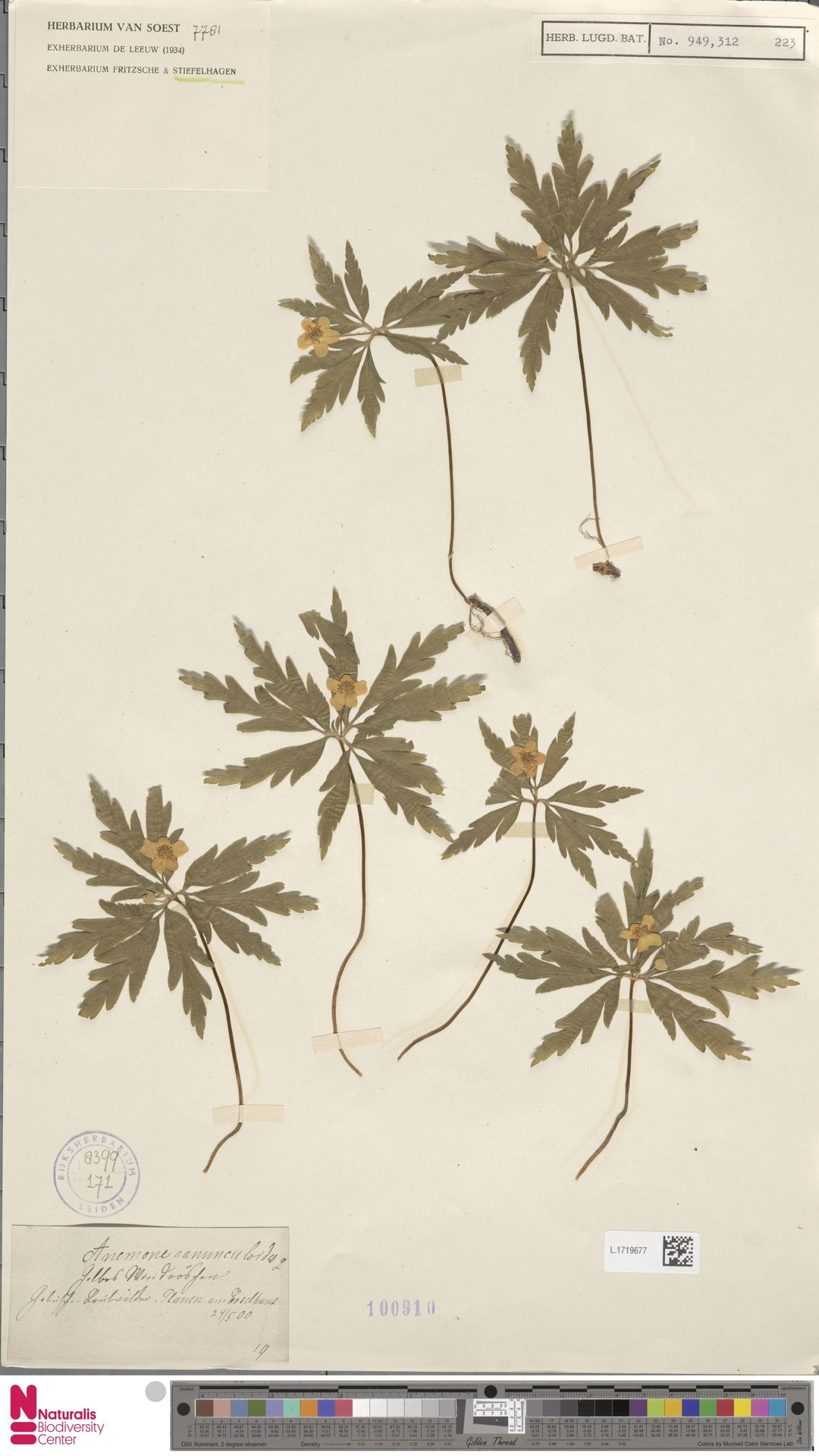 L.1719677   Anemone ranunculoides L.