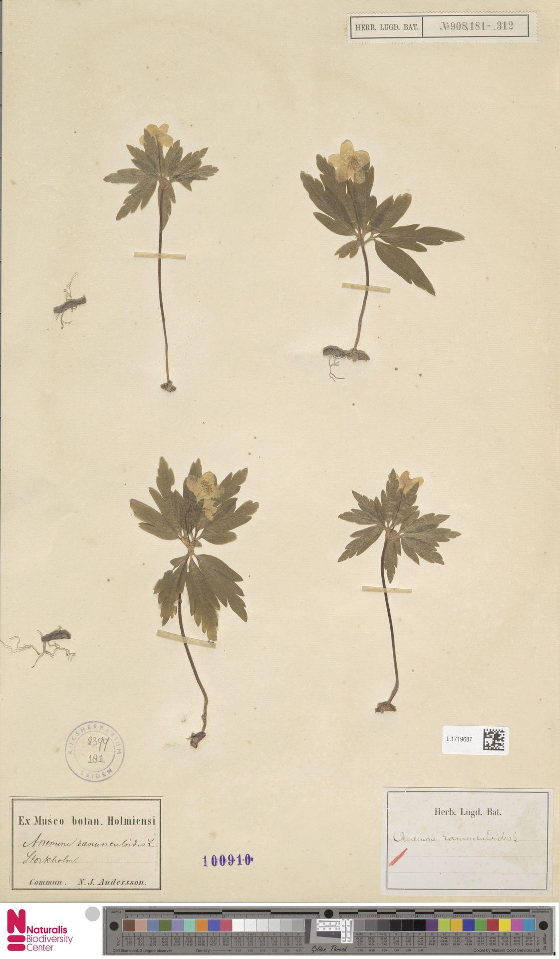 L.1719687 | Anemone ranunculoides L.