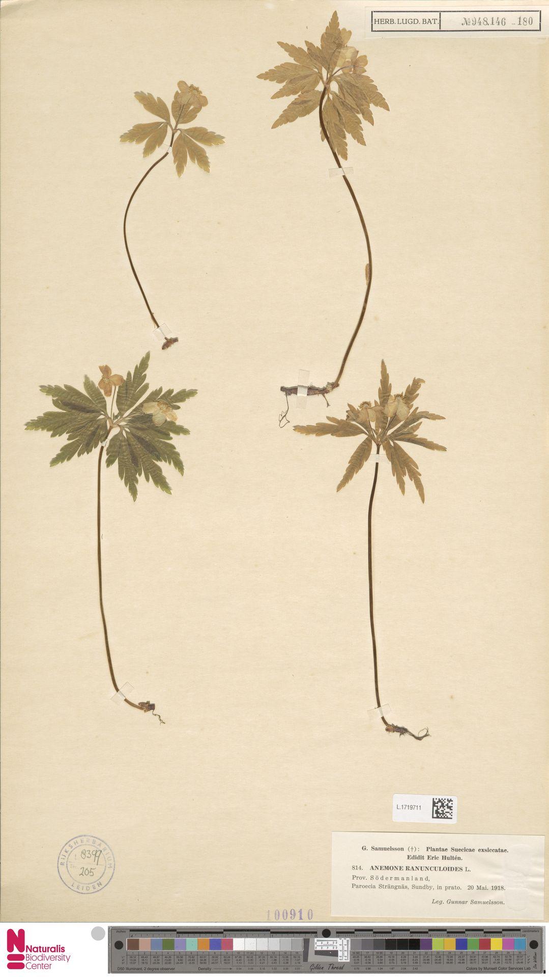 L.1719711   Anemone ranunculoides L.