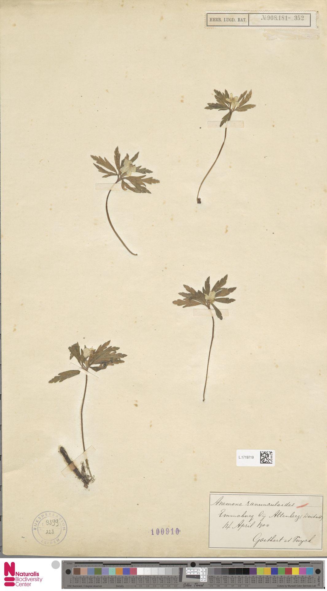 L.1719719 | Anemone ranunculoides L.