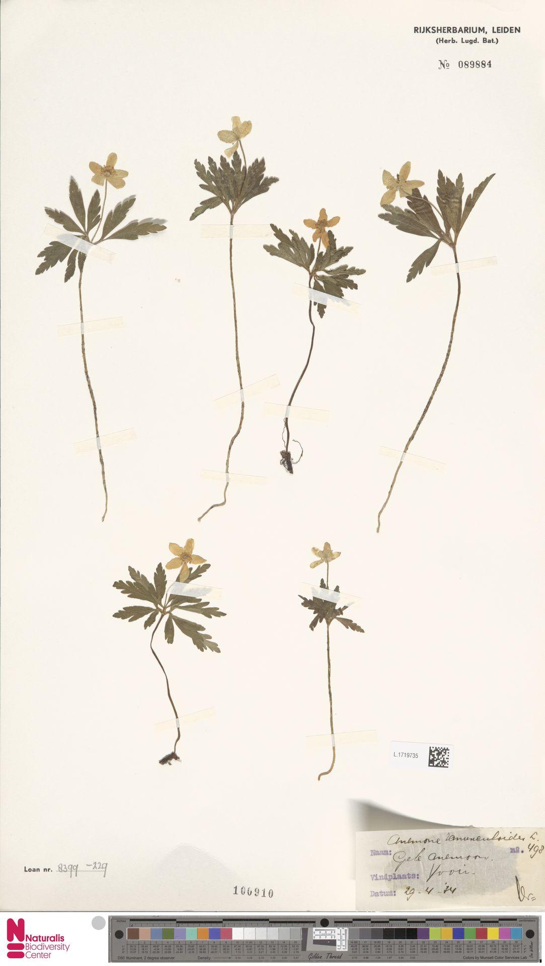 L.1719735 | Anemone ranunculoides L.