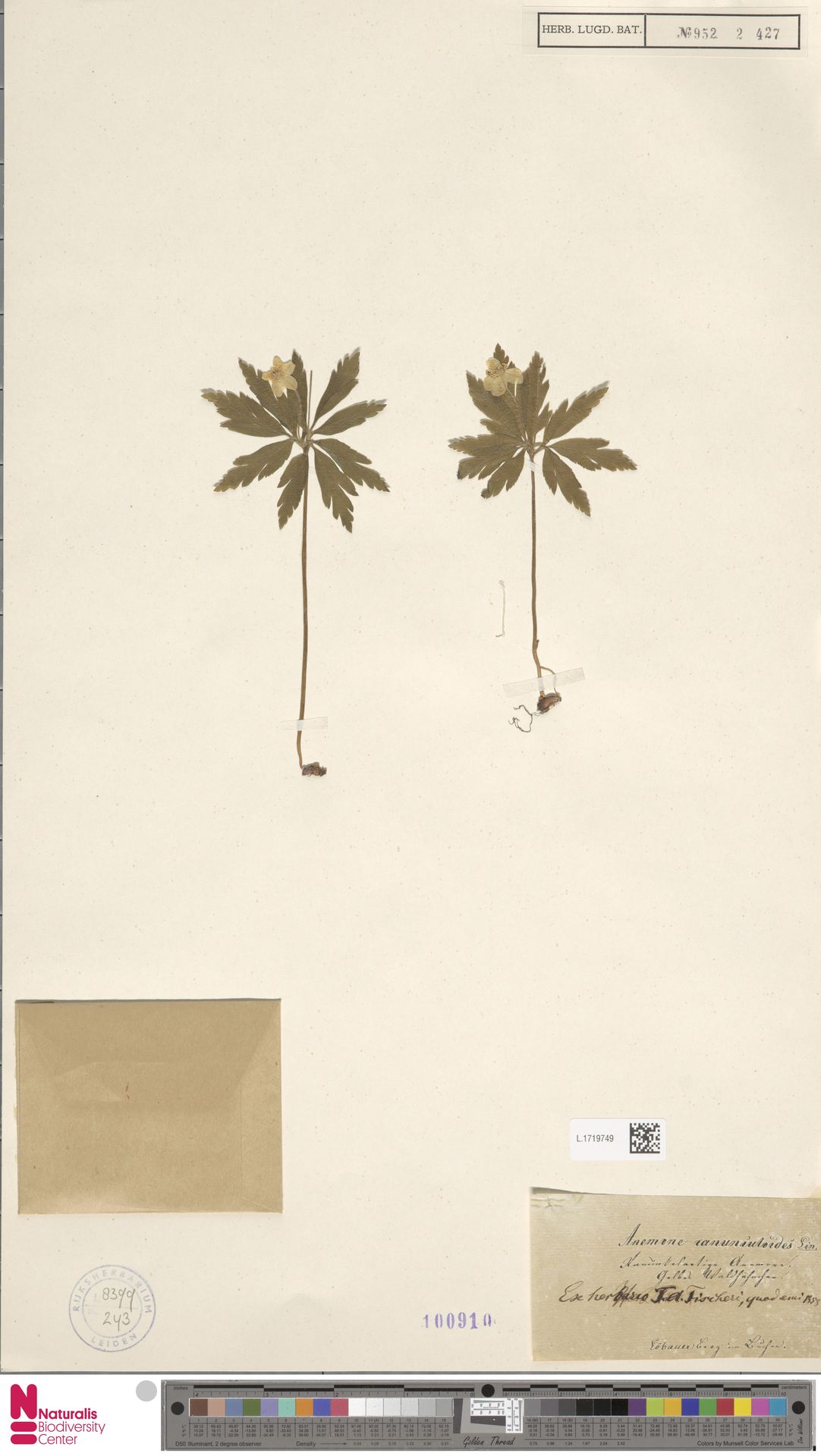 L.1719749 | Anemone ranunculoides L.