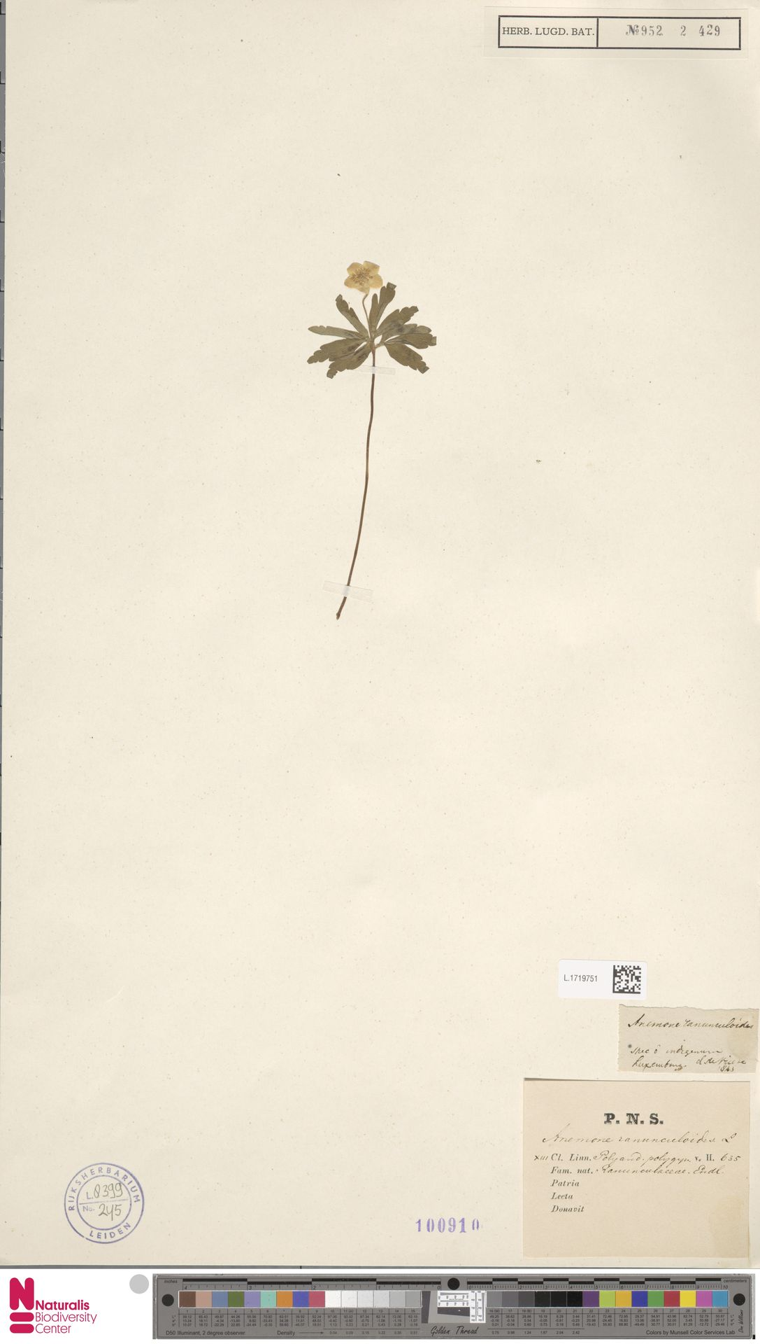L.1719751 | Anemone ranunculoides L.