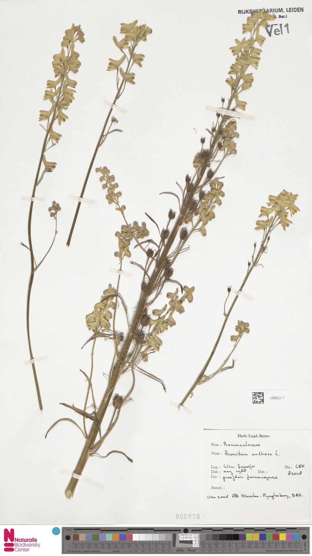 L.1725627   Aconitum anthora L.