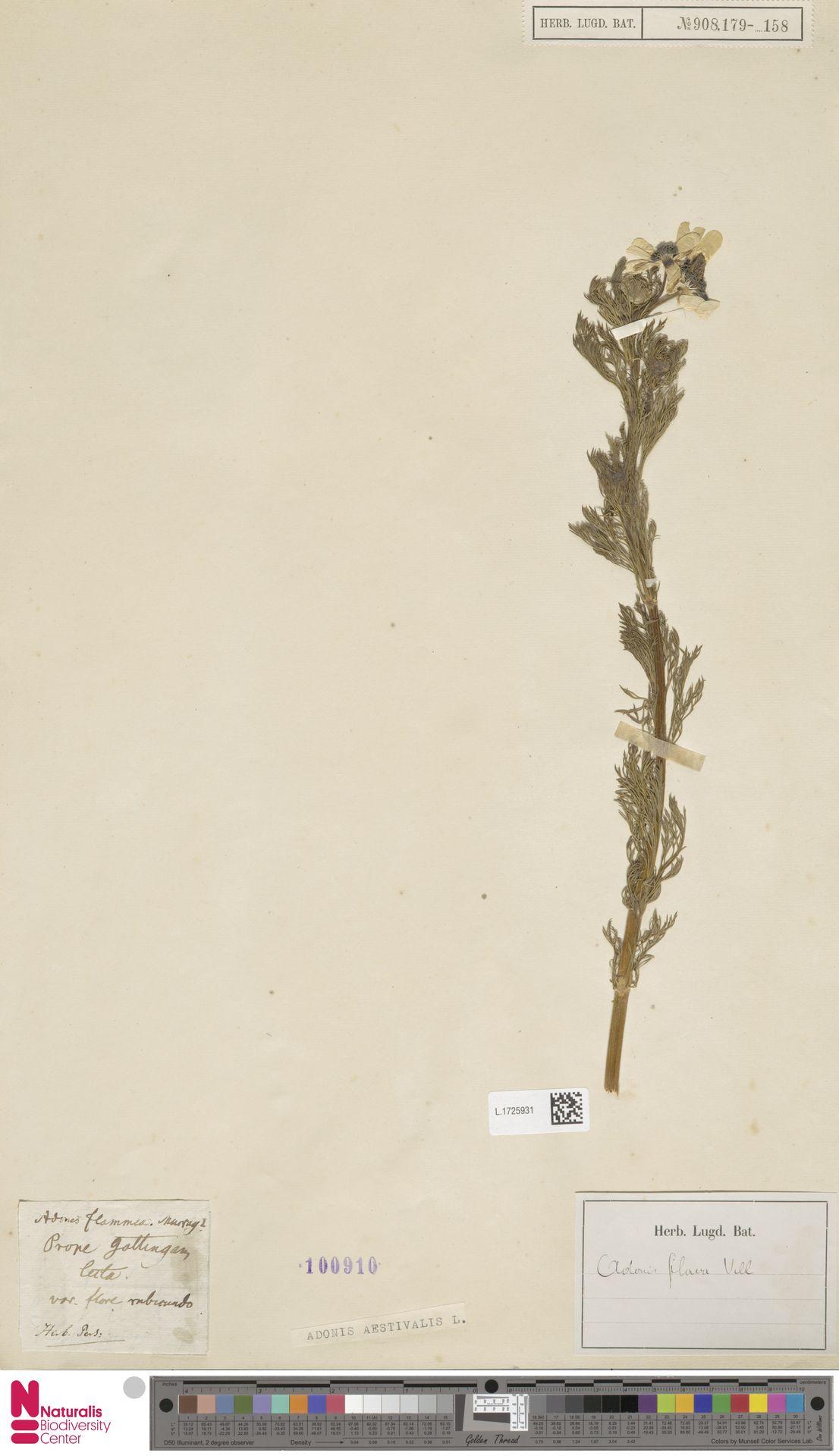 L.1725931 | Adonis aestivalis L.