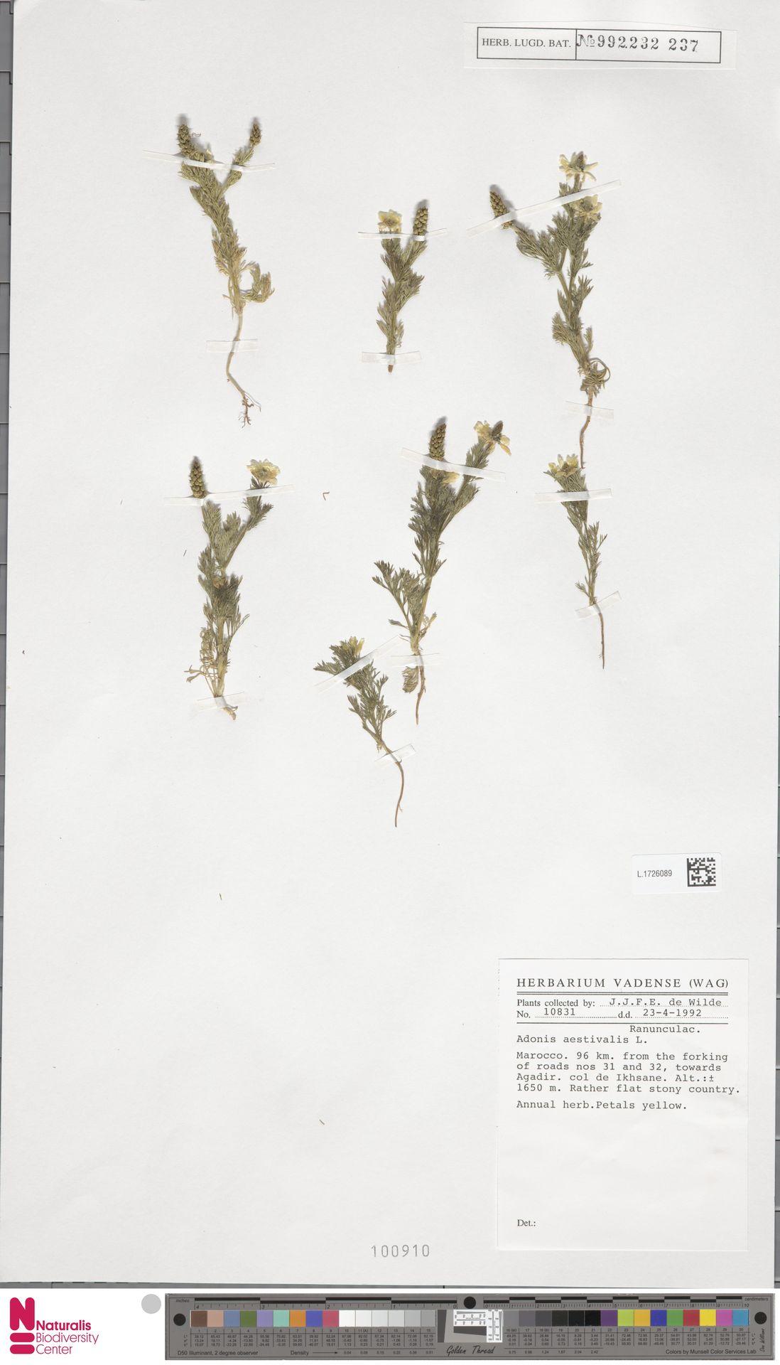 L.1726089   Adonis aestivalis L.