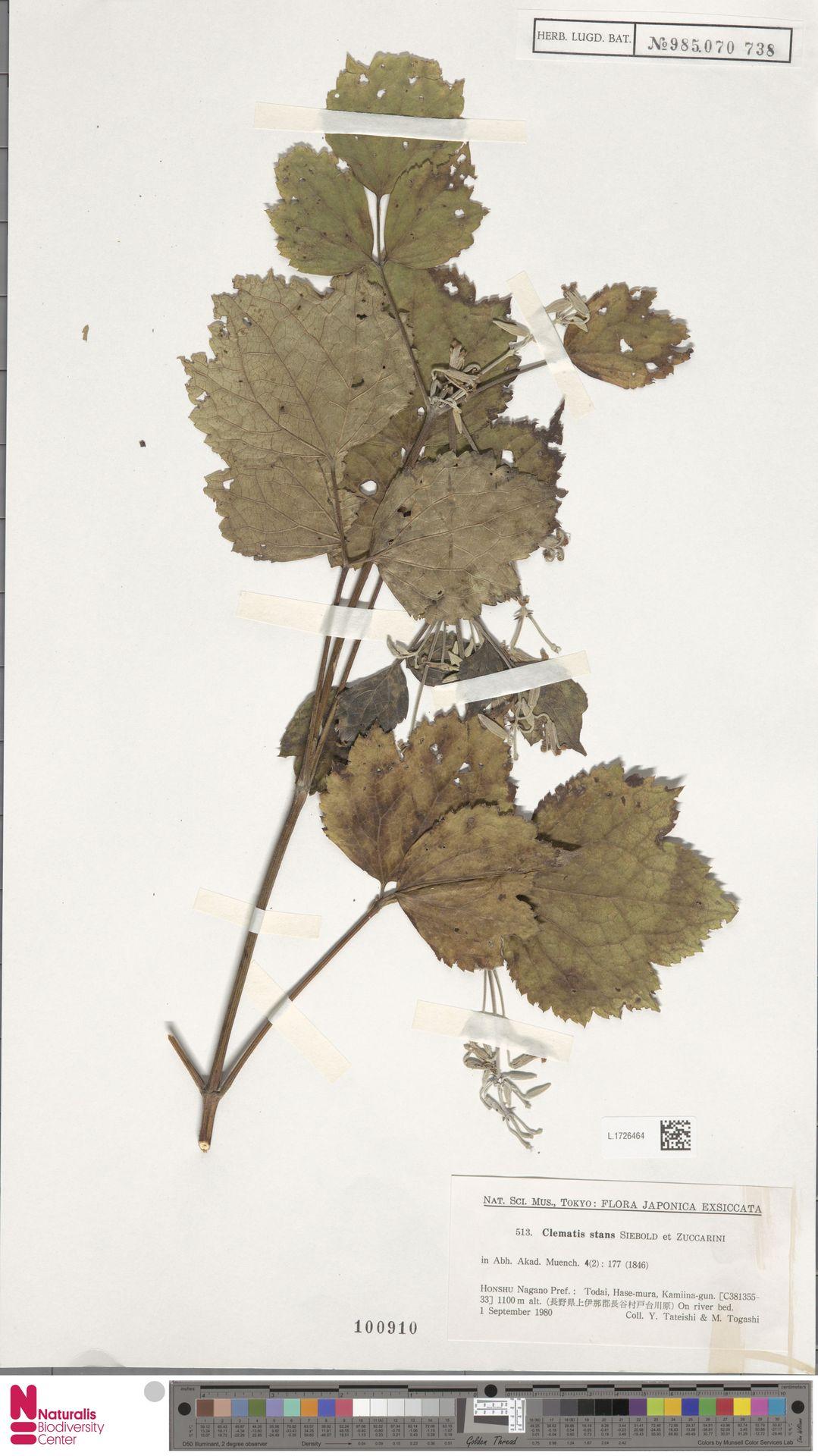 L.1726464 | Clematis stans Siebold & Zucc.