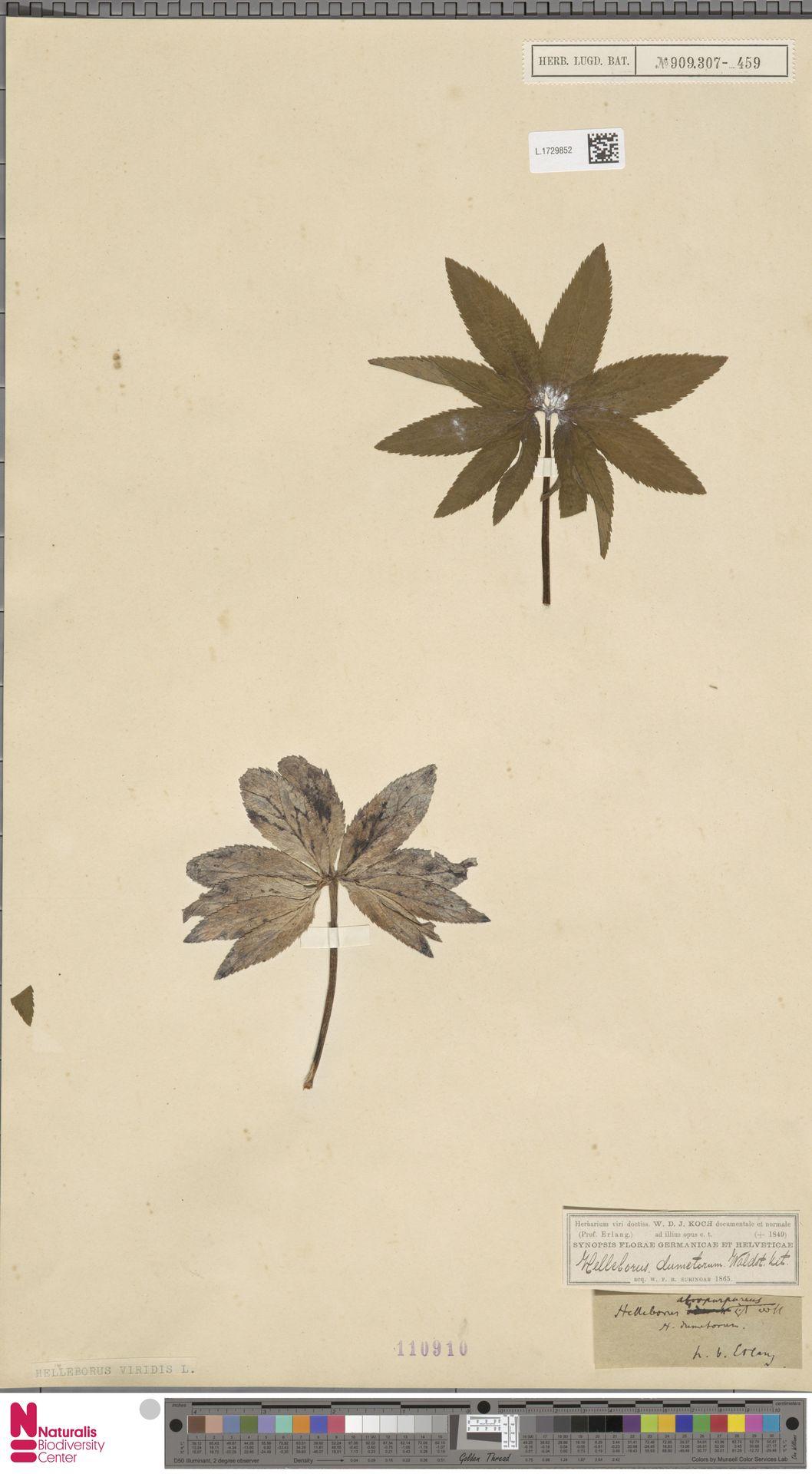 L.1729852   Helleborus viridis L.