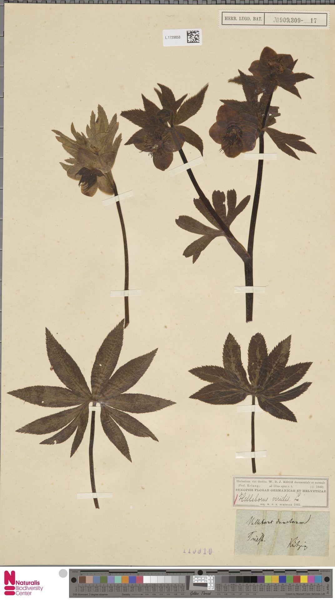 L.1729858 | Helleborus viridis L.