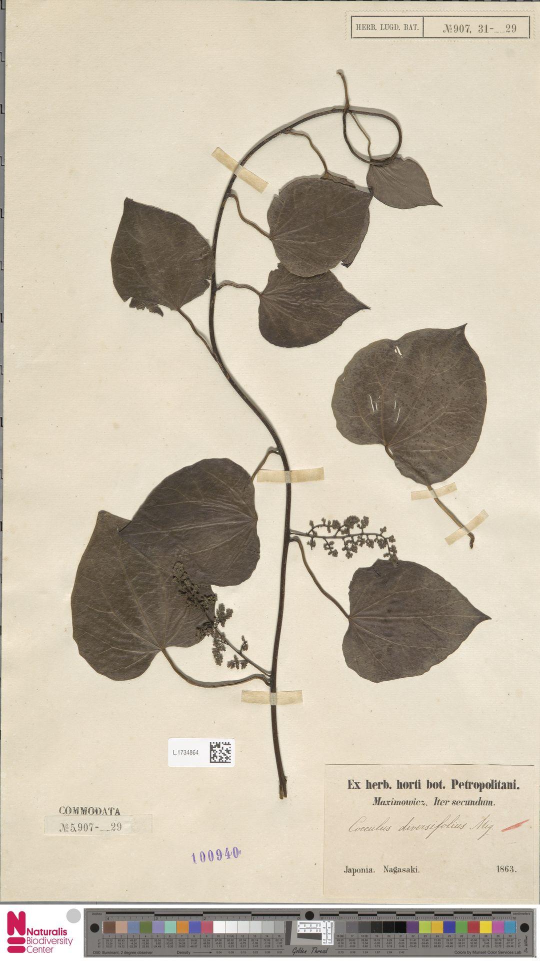 L.1734864   Cocculus diversifolius Miq.