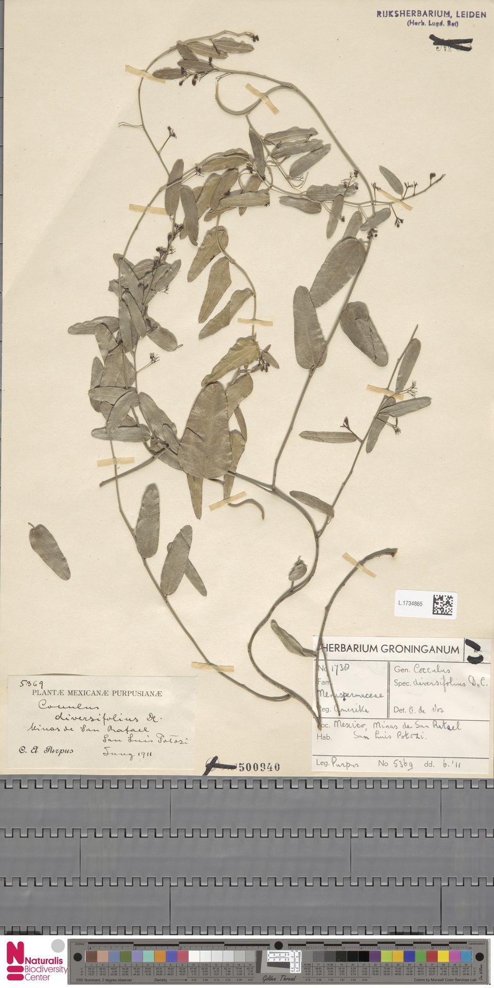 L.1734865 | Cocculus diversifolius Miq.